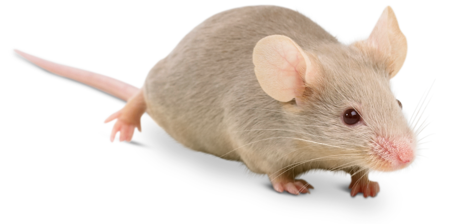 Transparent mouse animal