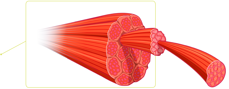 Image result for muscle fiber