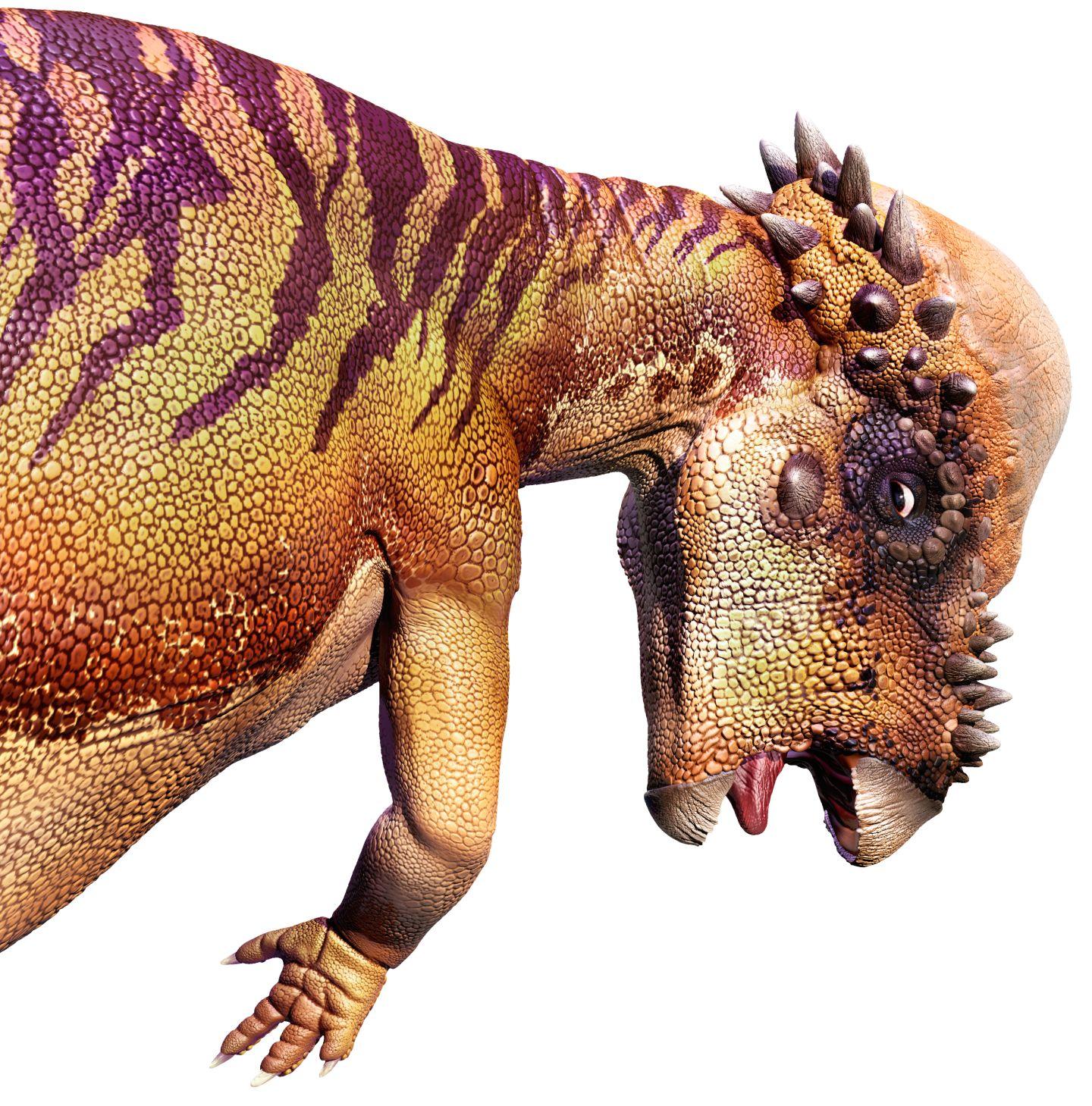 Pachycephalosaurus   Pachycephalosaurus Facts   DK Find Out Pachycephalosaurus Head