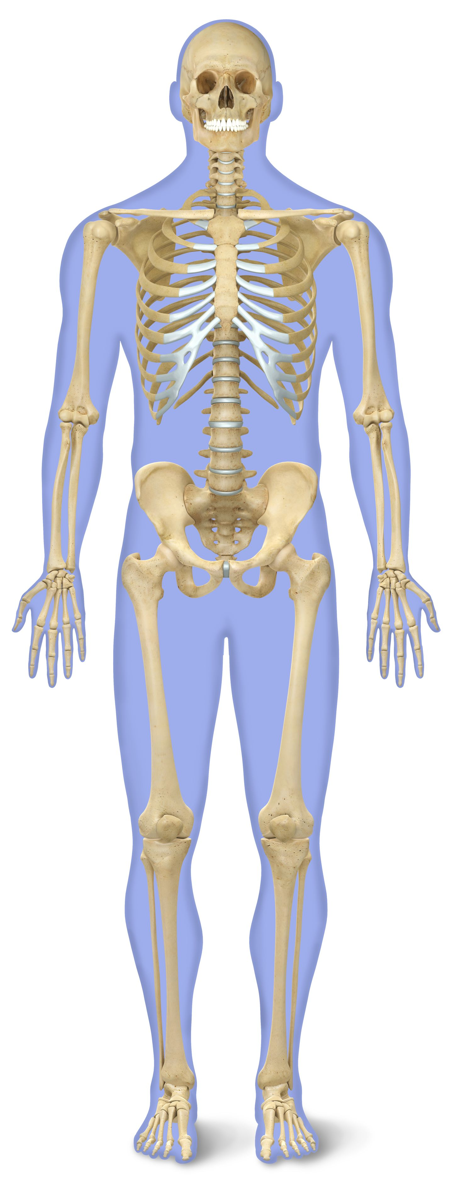 Number Of Bones In Human Body Skeleton Facts Dk Find Out