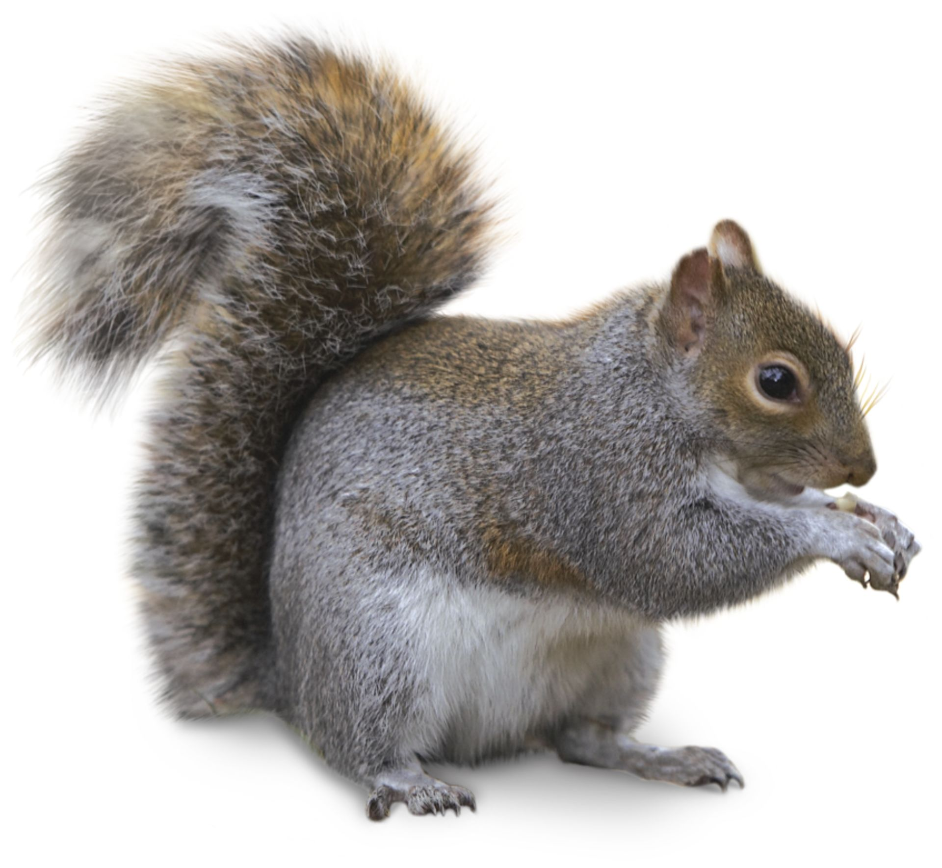tail - Pictures Of Squirrels