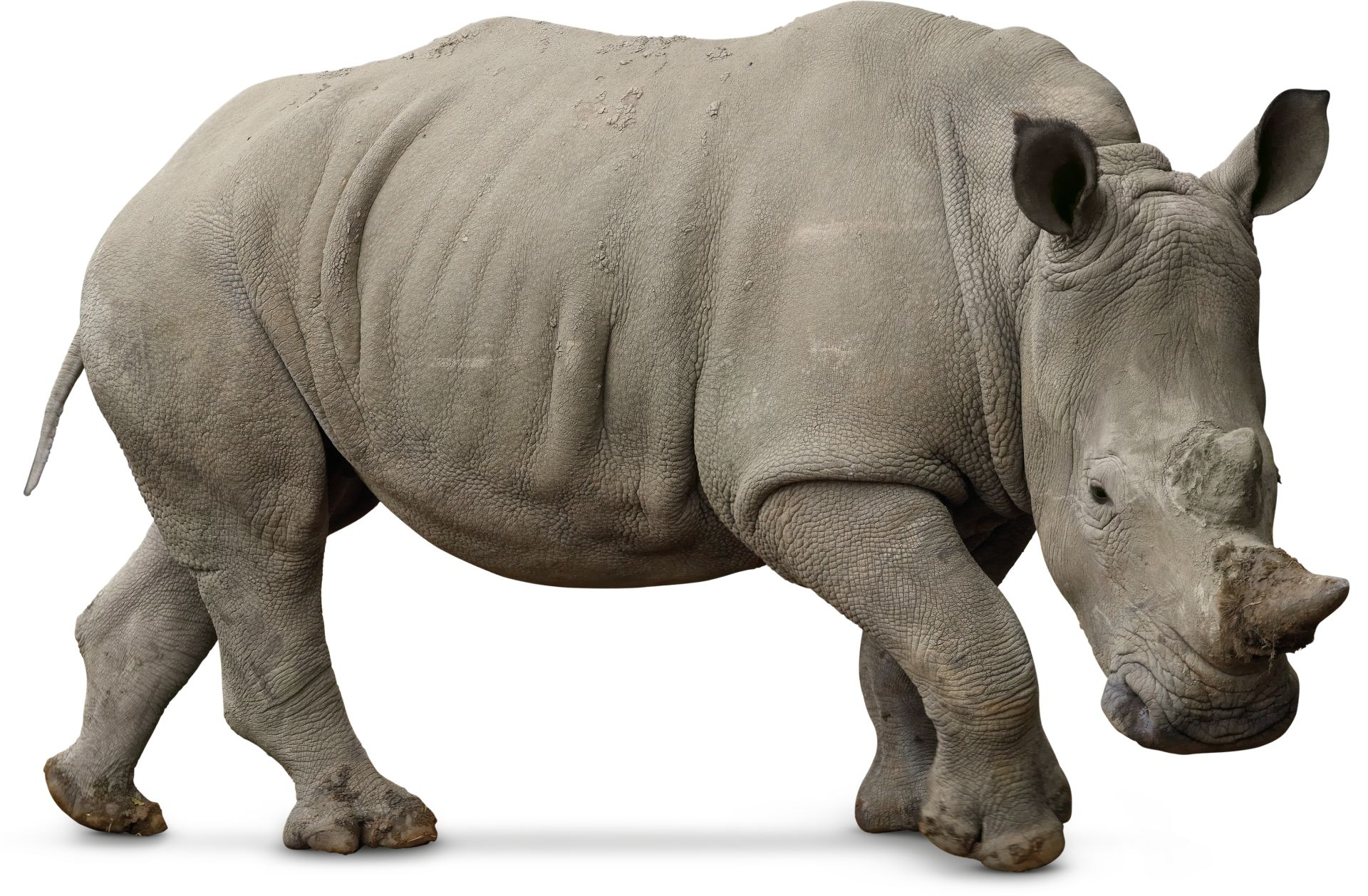 Q De Rhino White Rhino Facts | Wh...