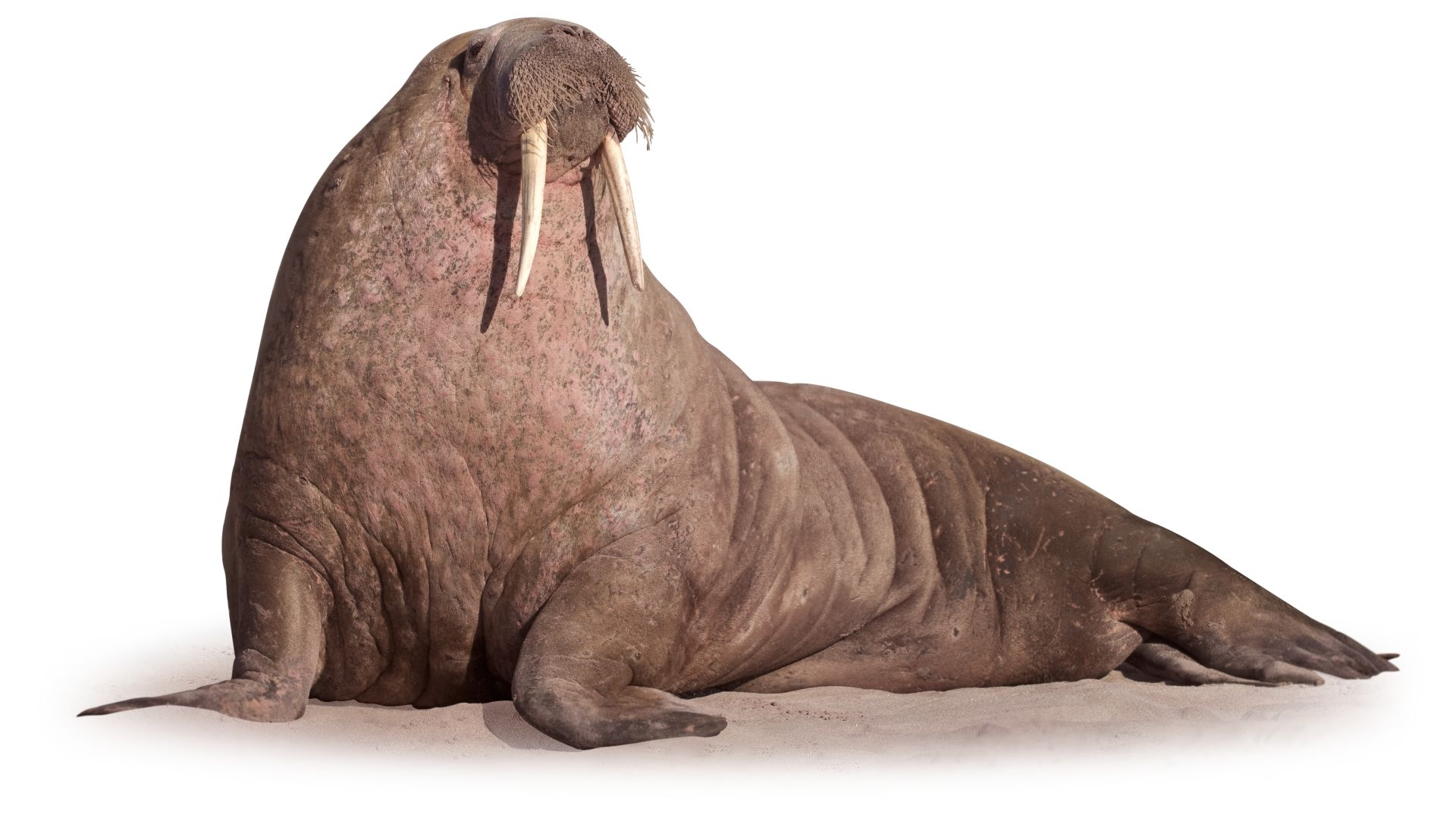 walrus facts where do walruses live dk find out