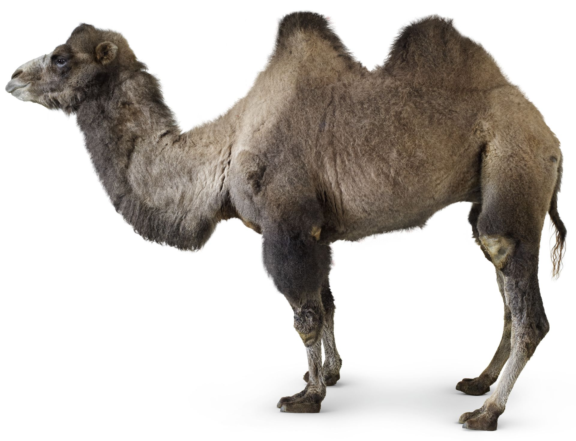 Humps The Bactrian Camel Has Two