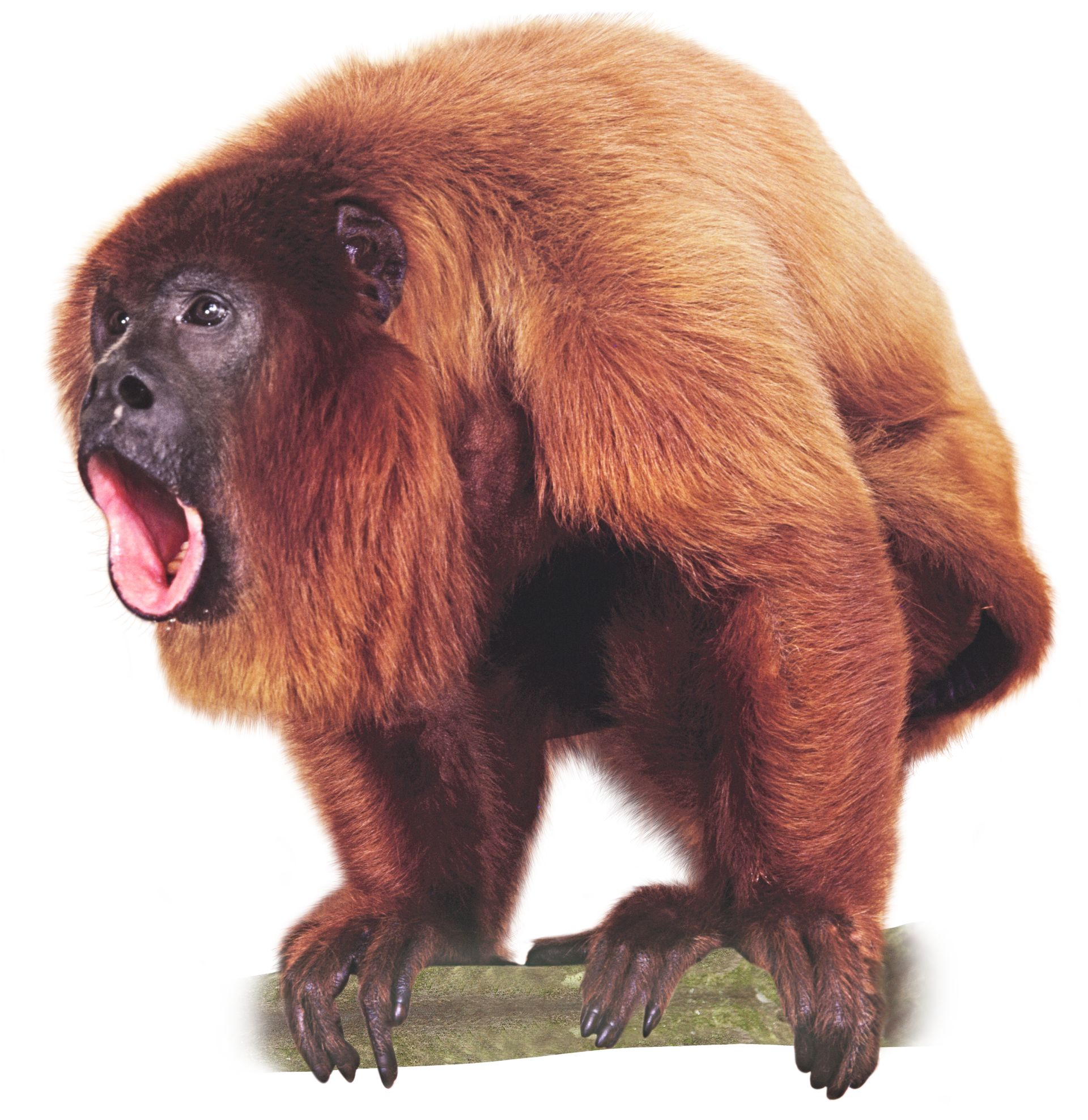 howler monkey sound howler monkey facts dk find out