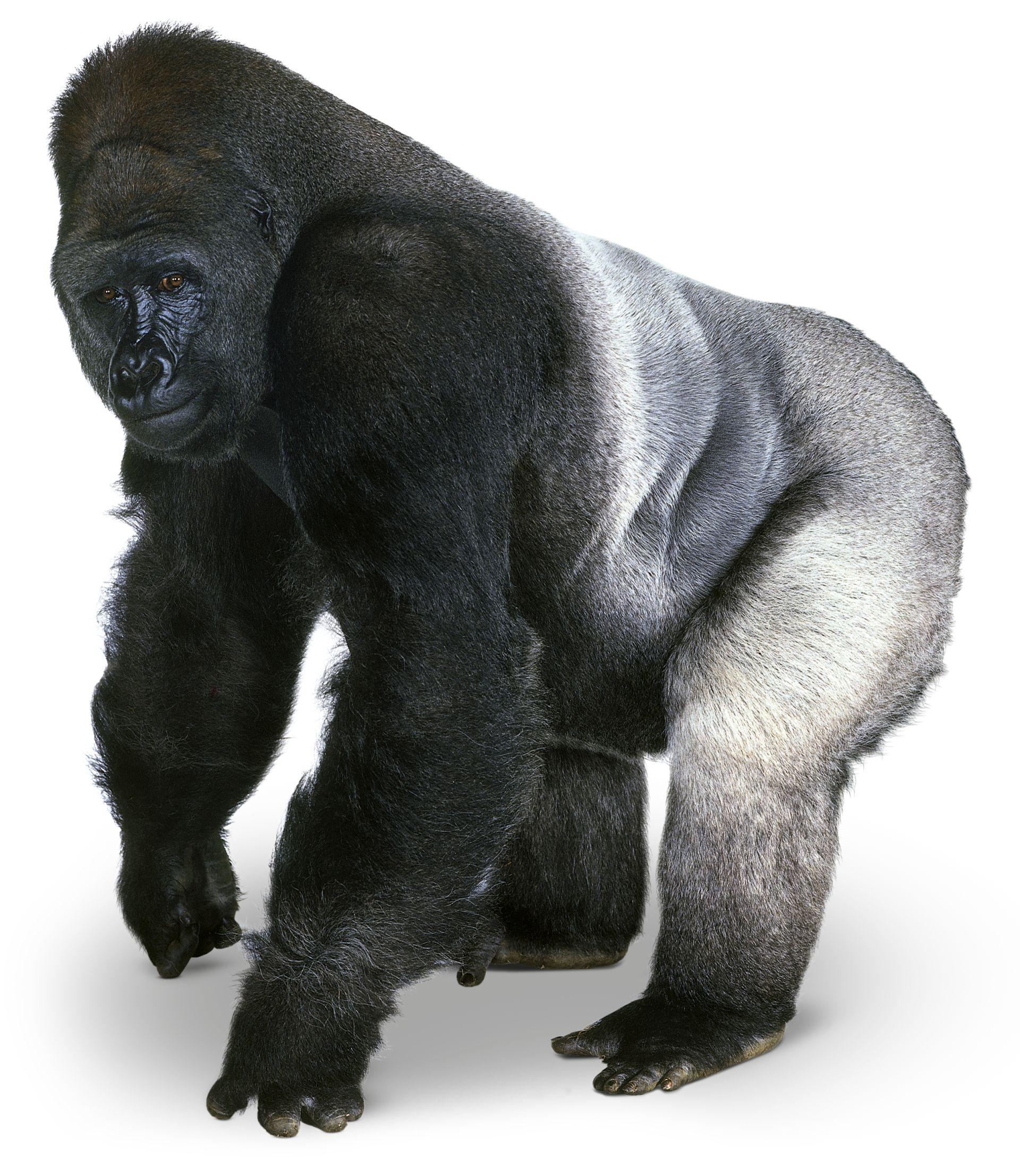 gorilla facts for kids silverback gorilla dk find out
