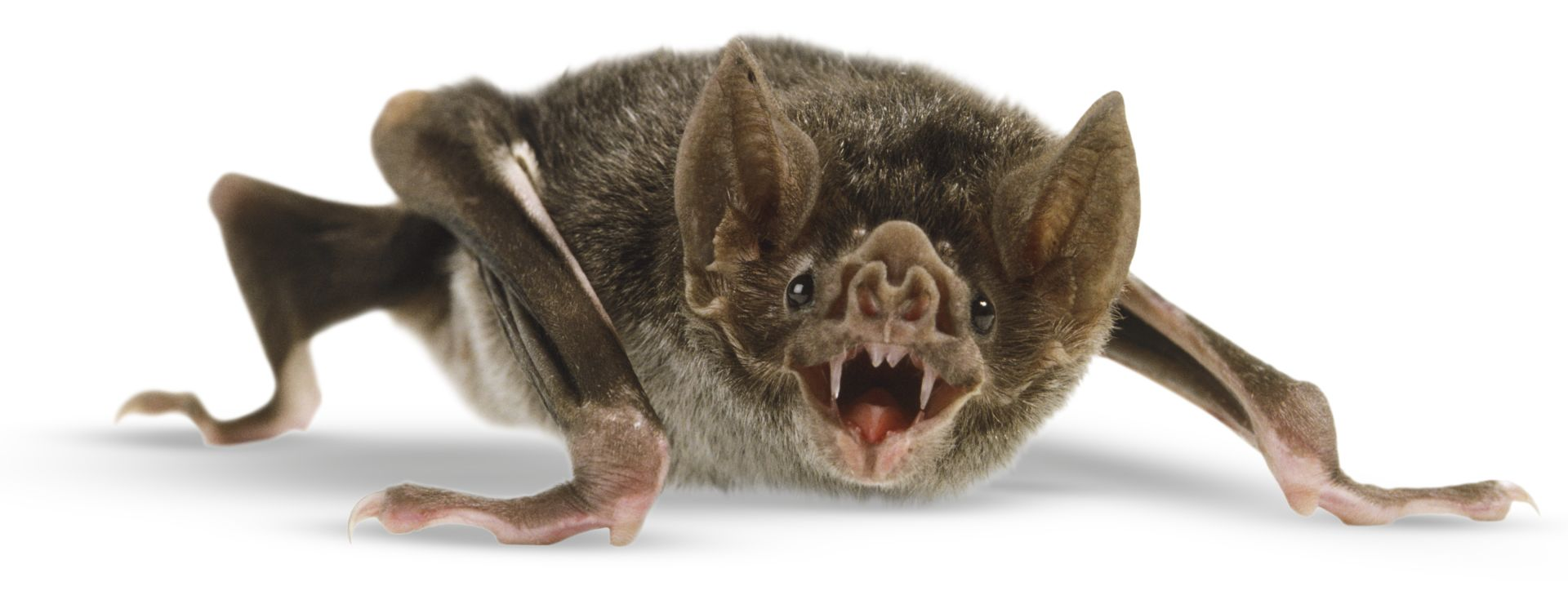 Vampire Bat Facts Vampire Bat Facts For Kids Dk Find Out