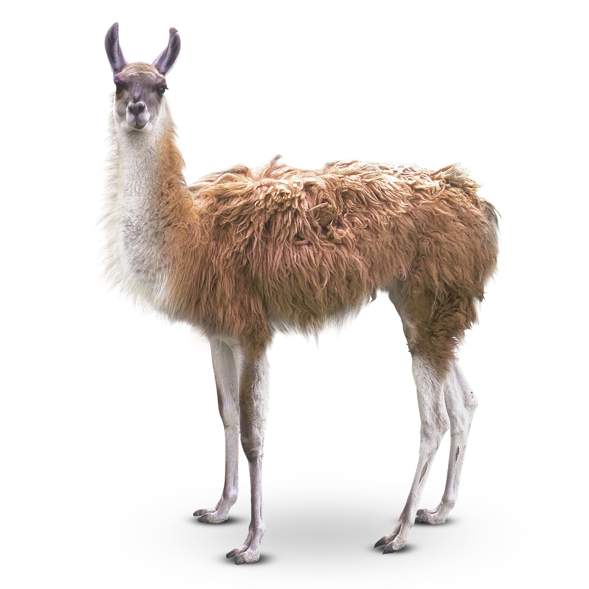 What Is A Guanaco