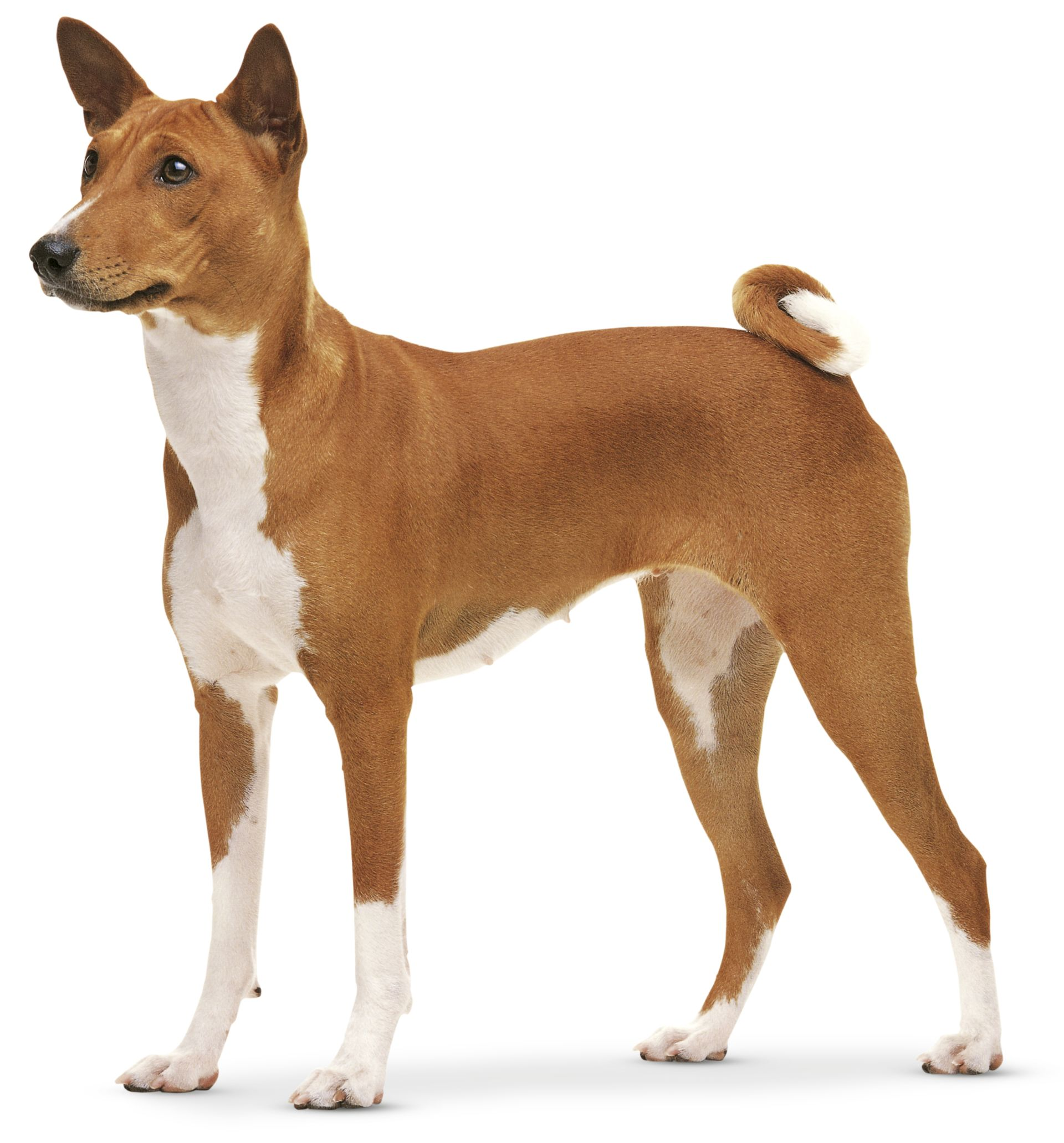 Pointed Ear Dog Breeds