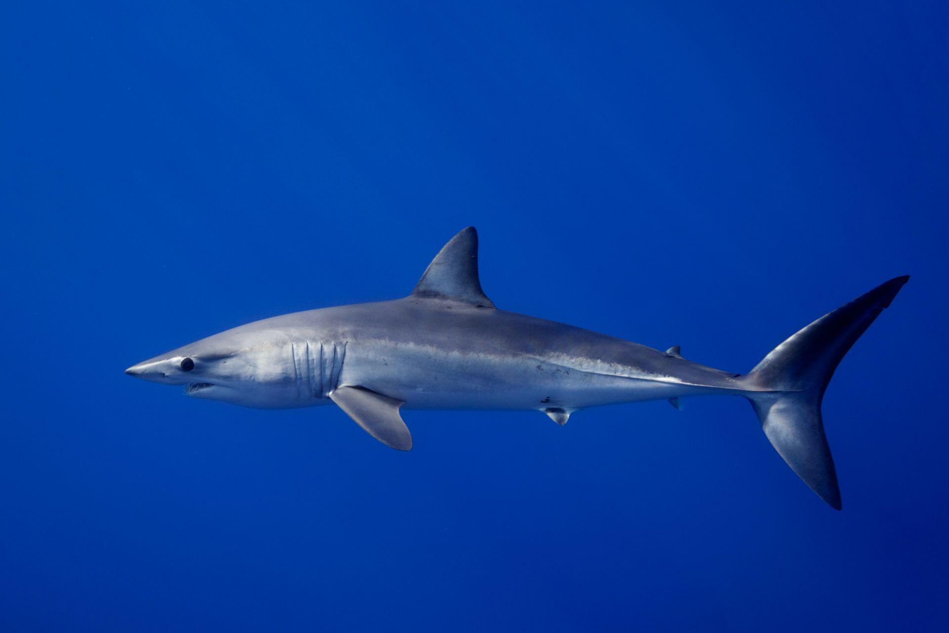 Mako Shark Facts For Kids Shark Species Dk Find Out