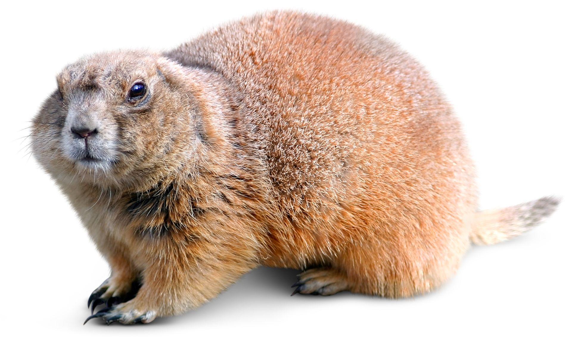 Woodchuck Animal Facts