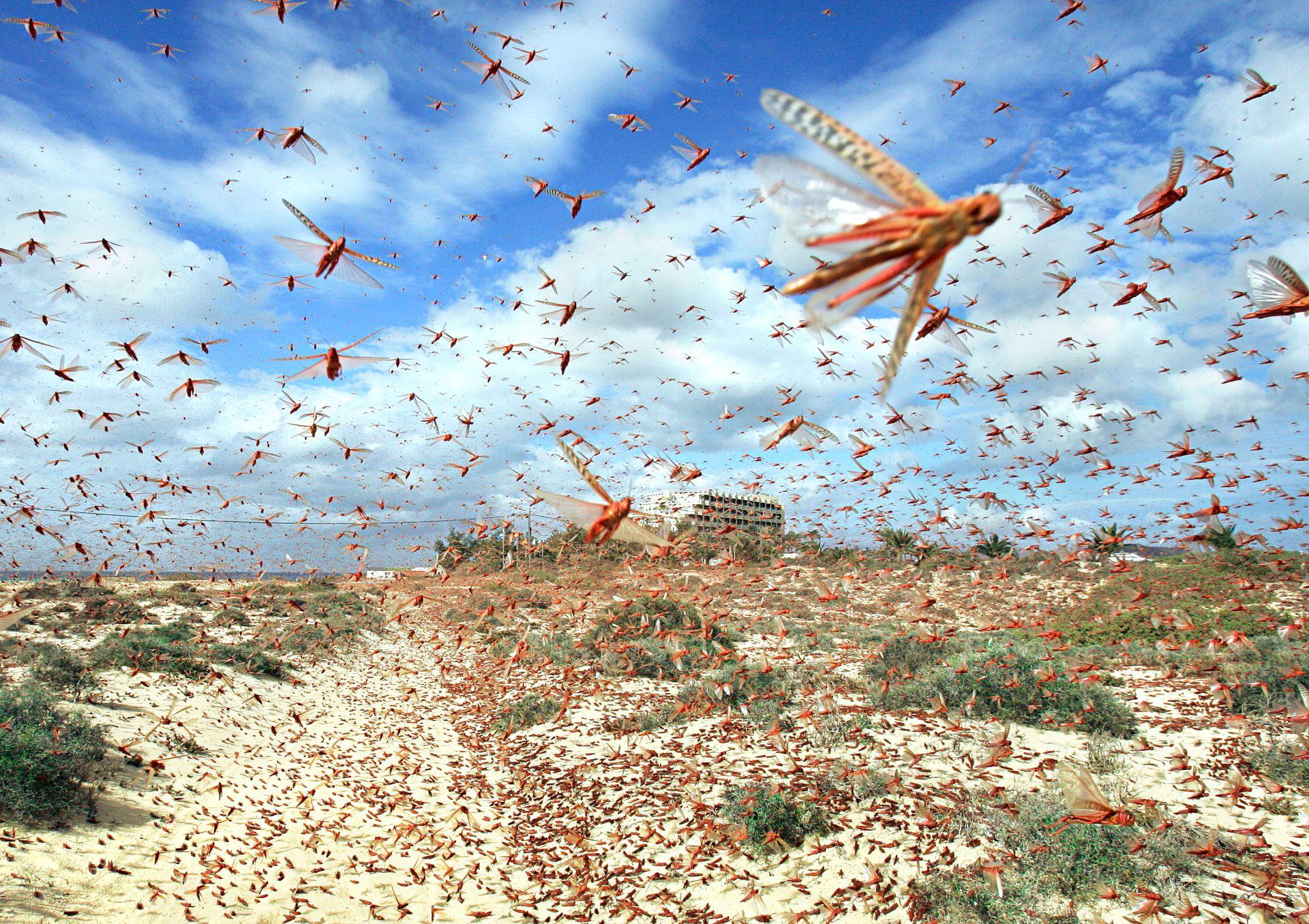 locust swarm largest locust swarm dk find out