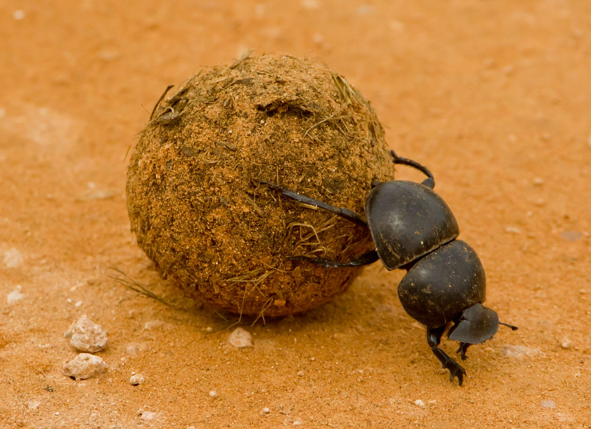 Dung Beetles Dung Beetle Facts Dk Find Out