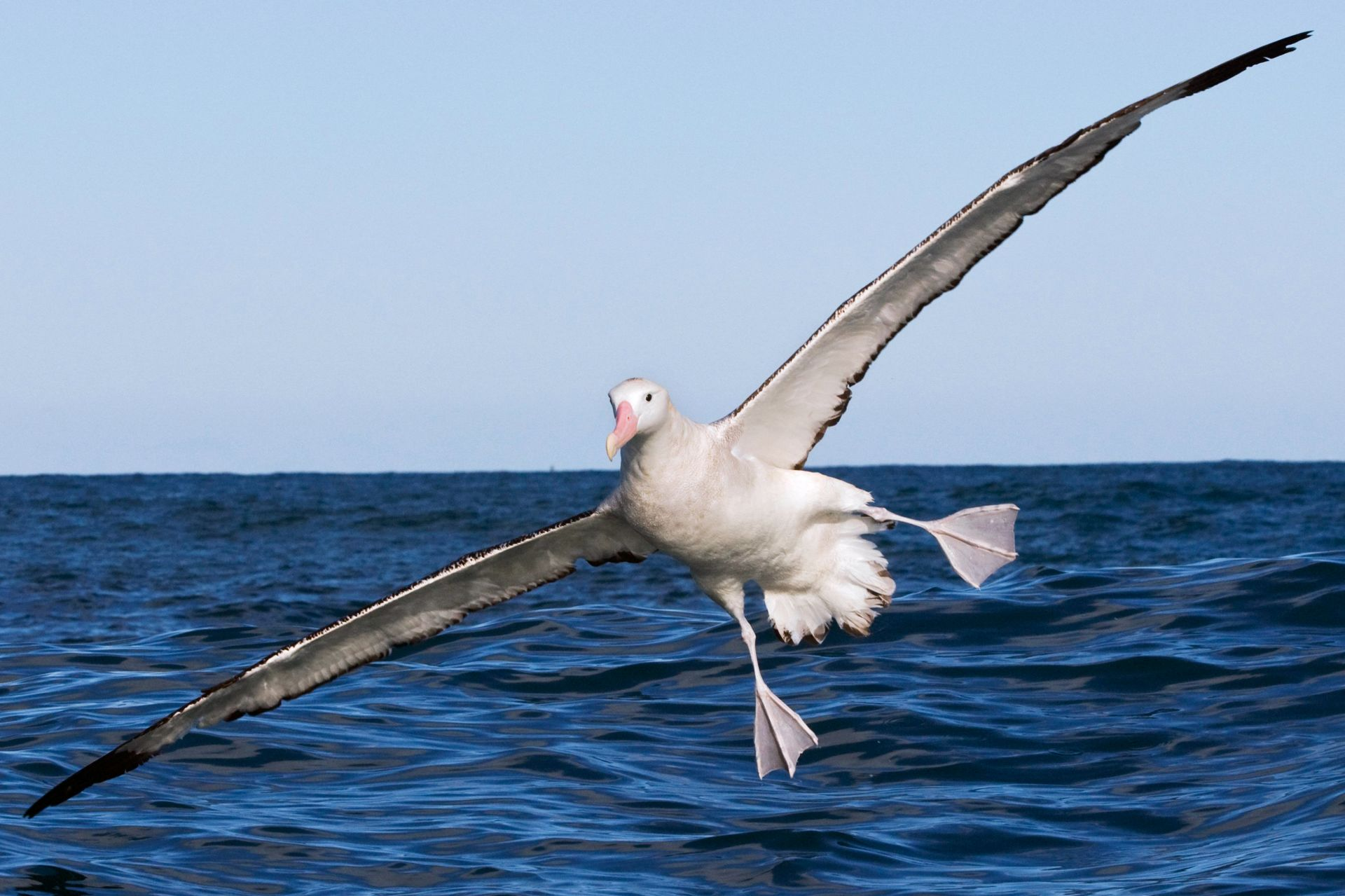 Albatross Facts Wandering Albatross Wingspan Dk Find Out