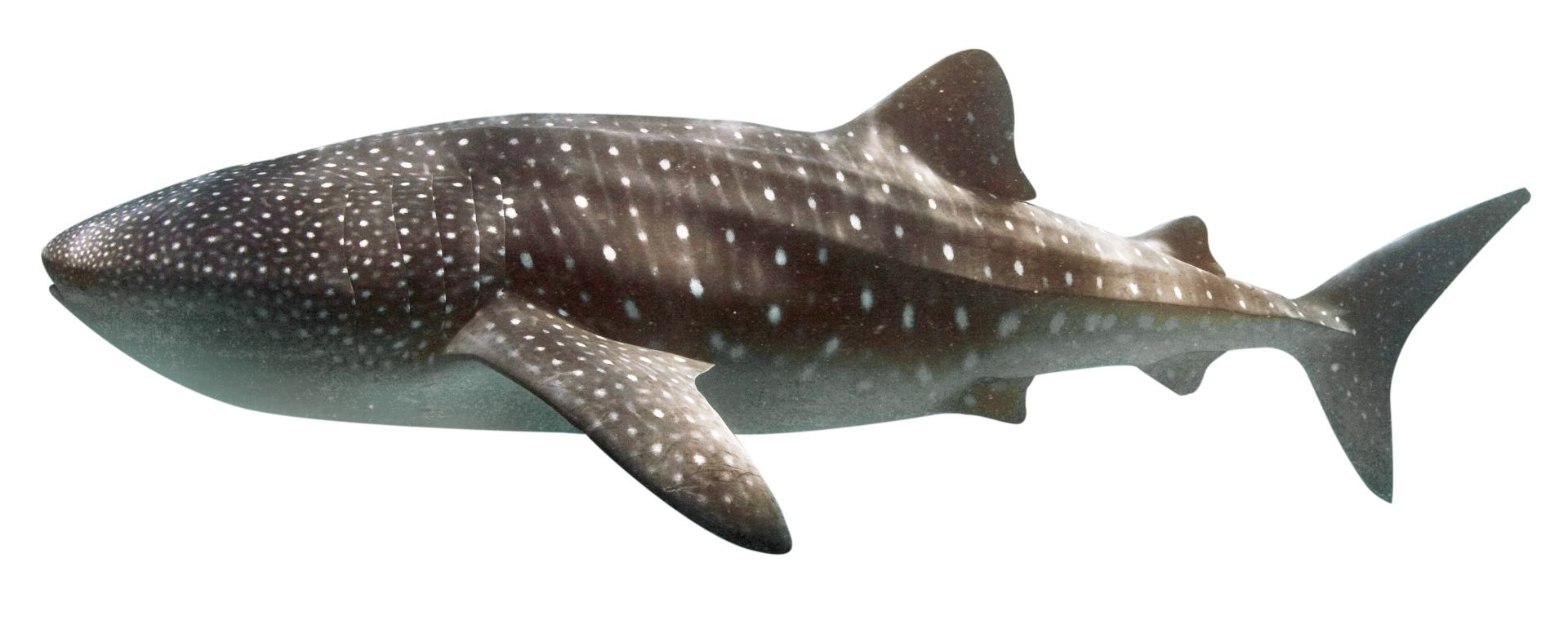 Whale shark facts largest fish in the world dk find out wide mouth thecheapjerseys Choice Image