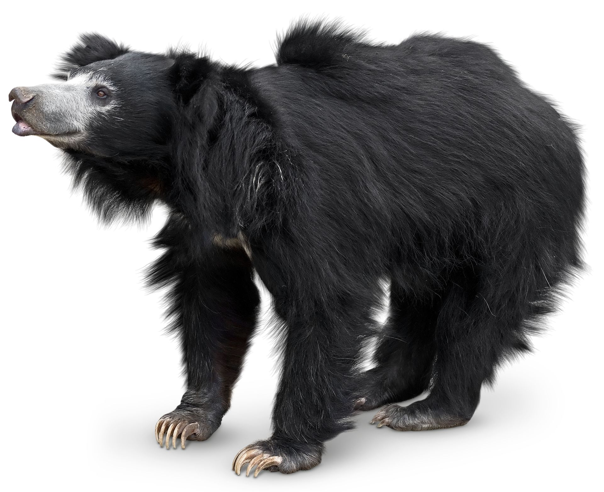 sloth bears sloth bear facts dk find out
