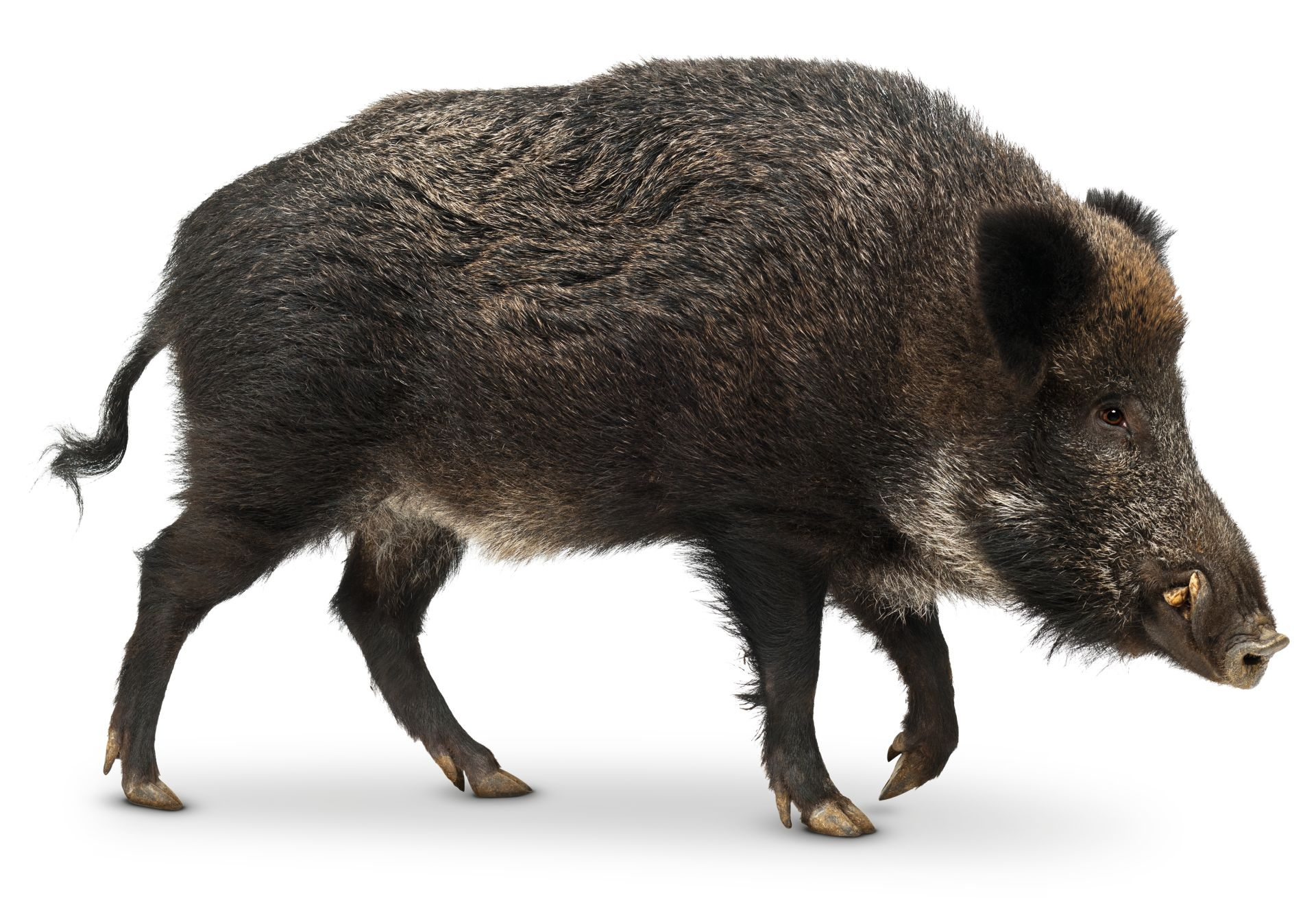 Pig Facts For Kids Wild Pig Facts Dk Find Out