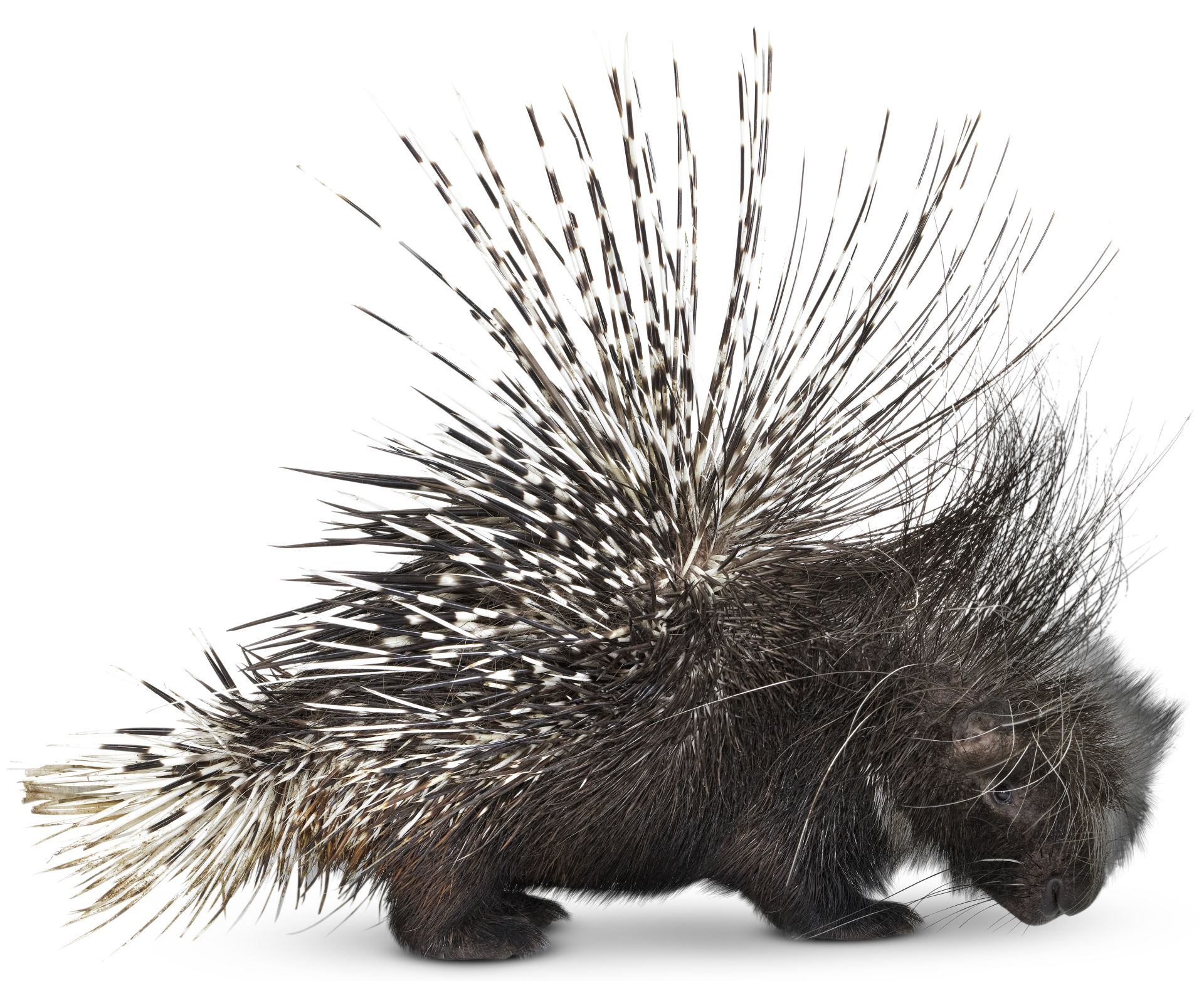 a brief look at the animal porcupine Porcupine on the farm dogs are not the only animals at-risk of porcupine encounters on the farm or homestead look up state regulations.