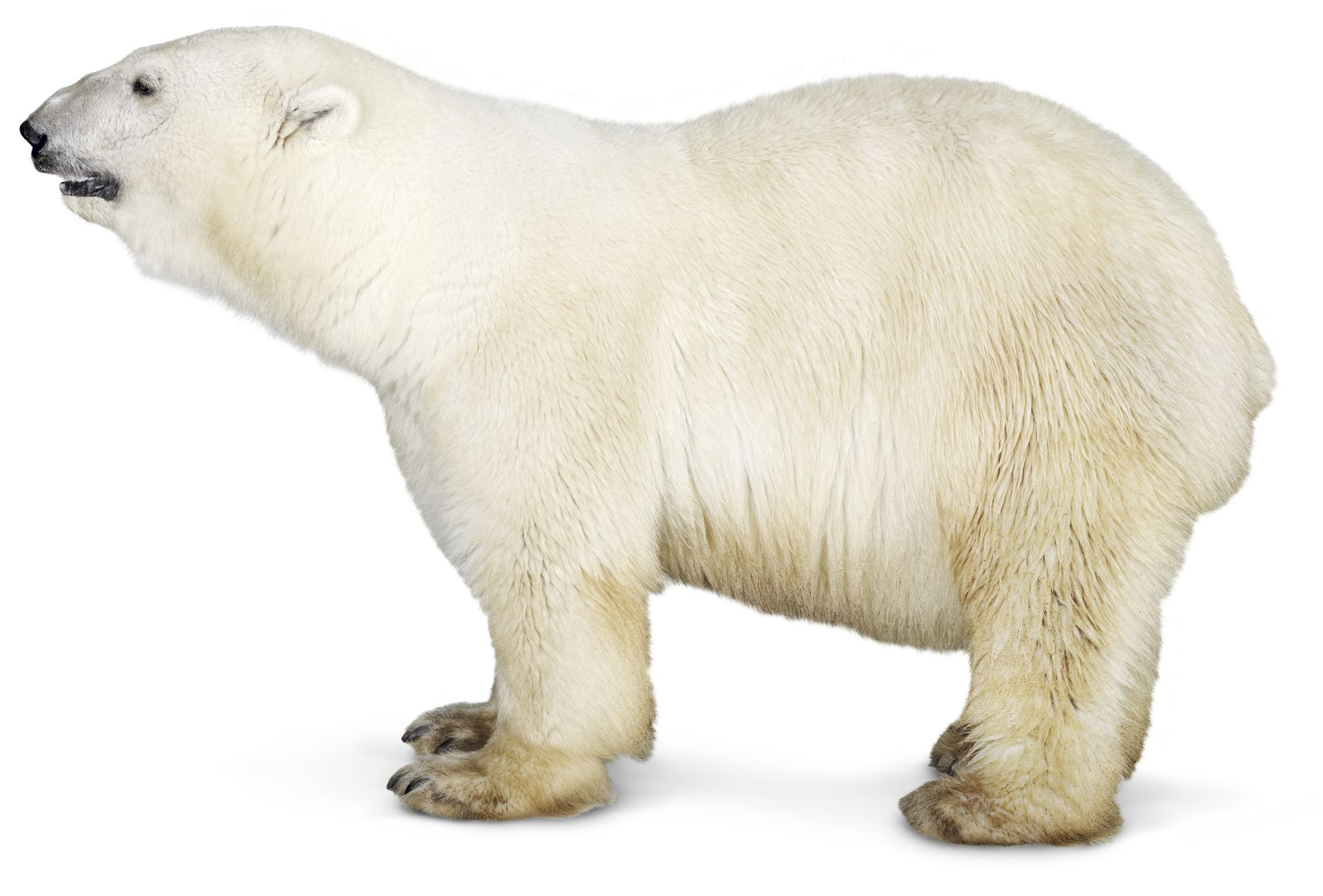 Facts About Polar Bears Polar Bear Diet Dk Find Out