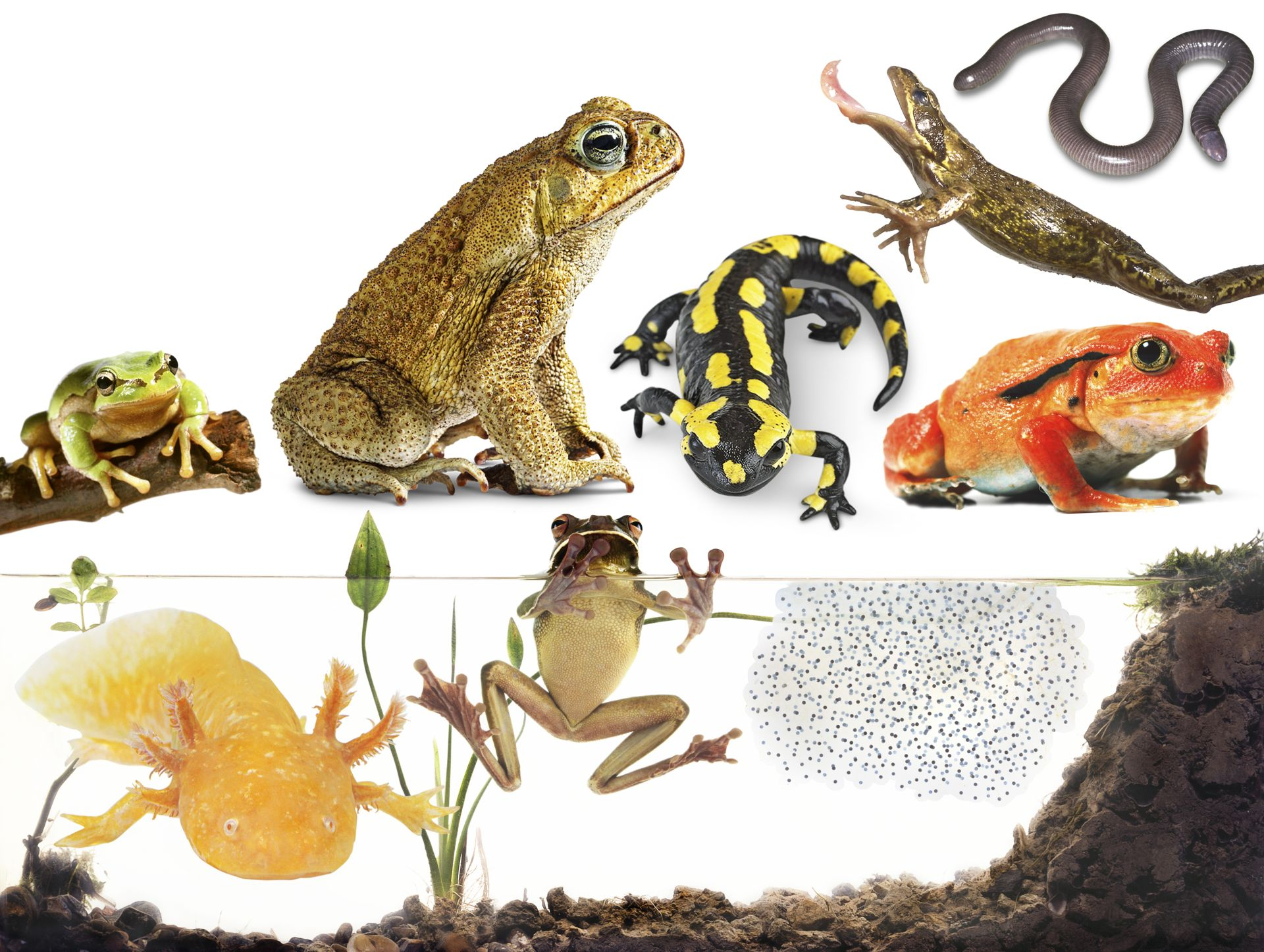 types of amphibians amphibians for kids dk find out