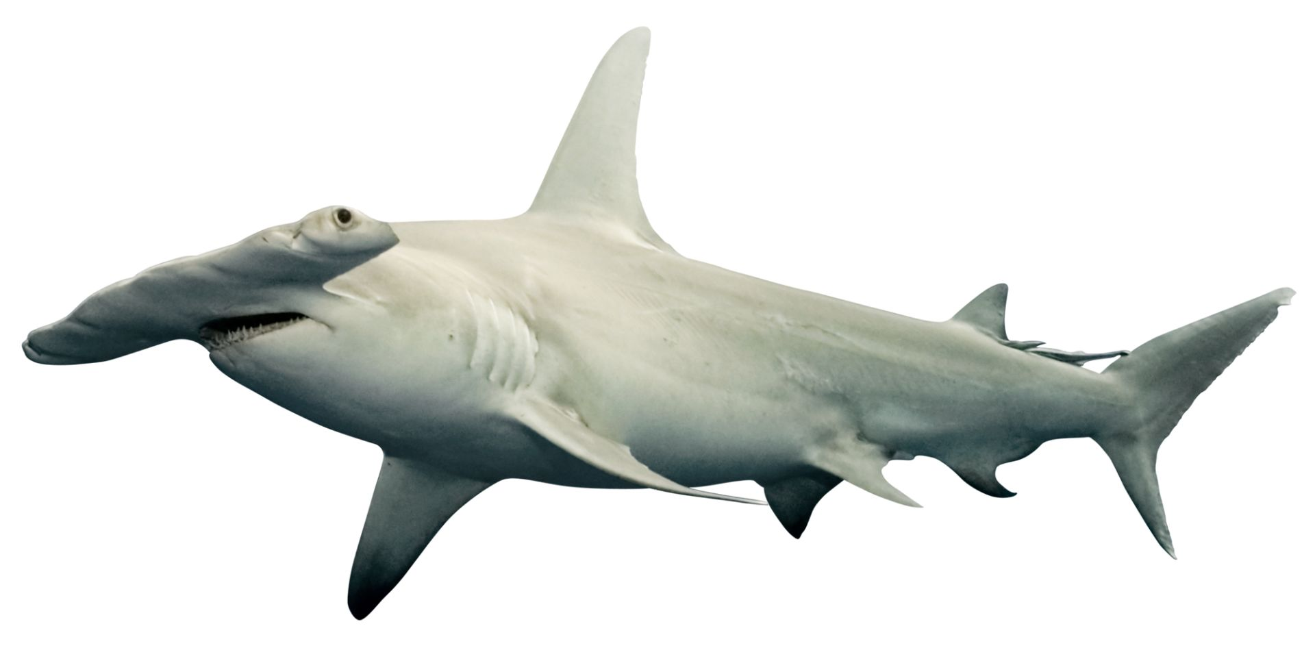 Hammerhead Shark Facts   What Do Sharks Eat   DK Find Out