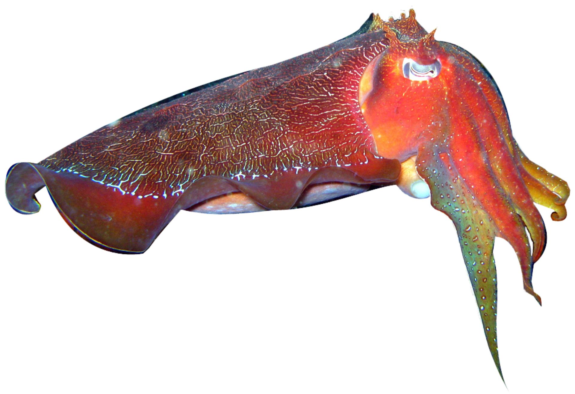 Australian Giant Cuttlefish Facts Dk Find Out
