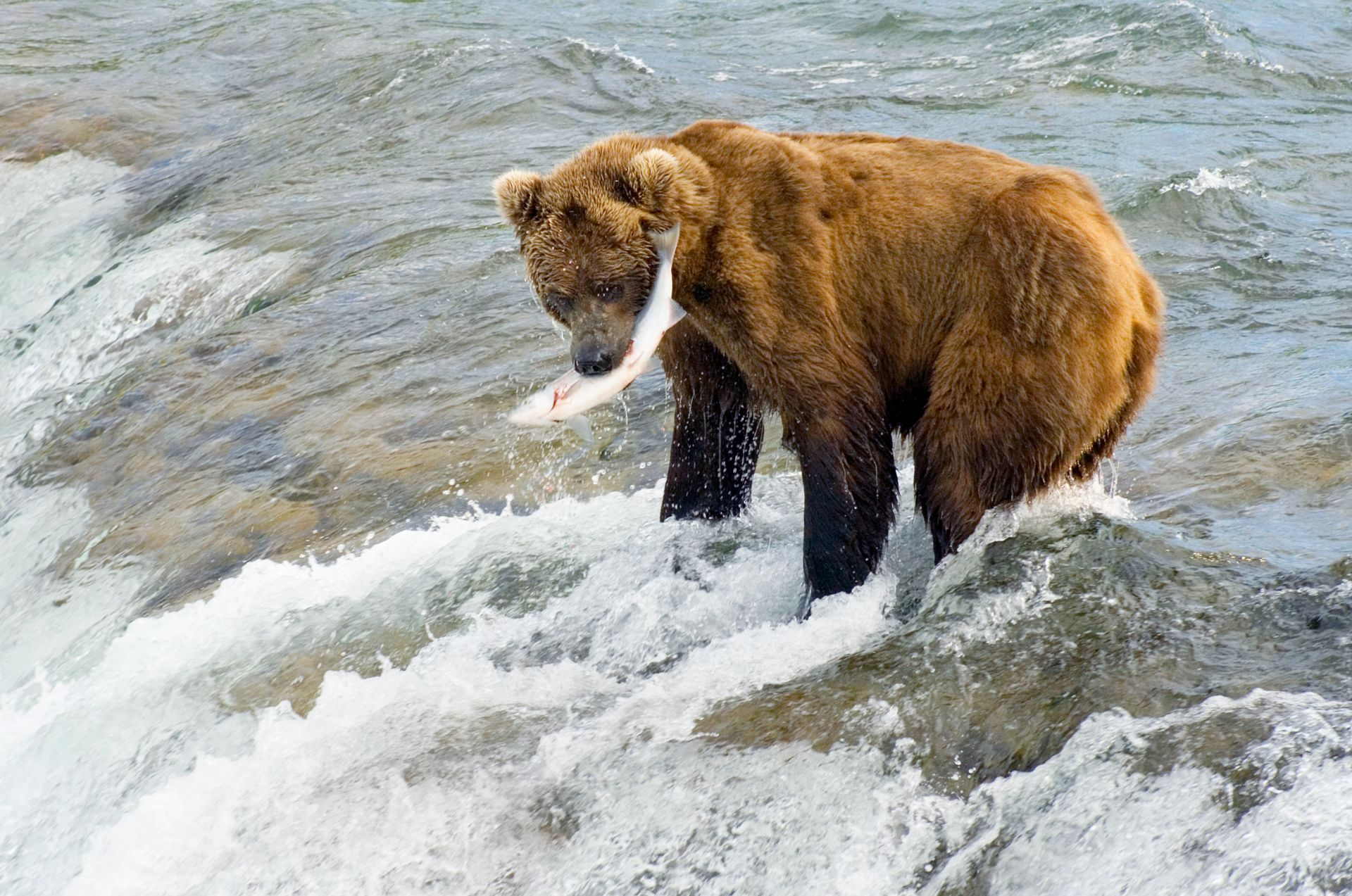 Bear fishing bear catching fish dk find out for Bear catching fish