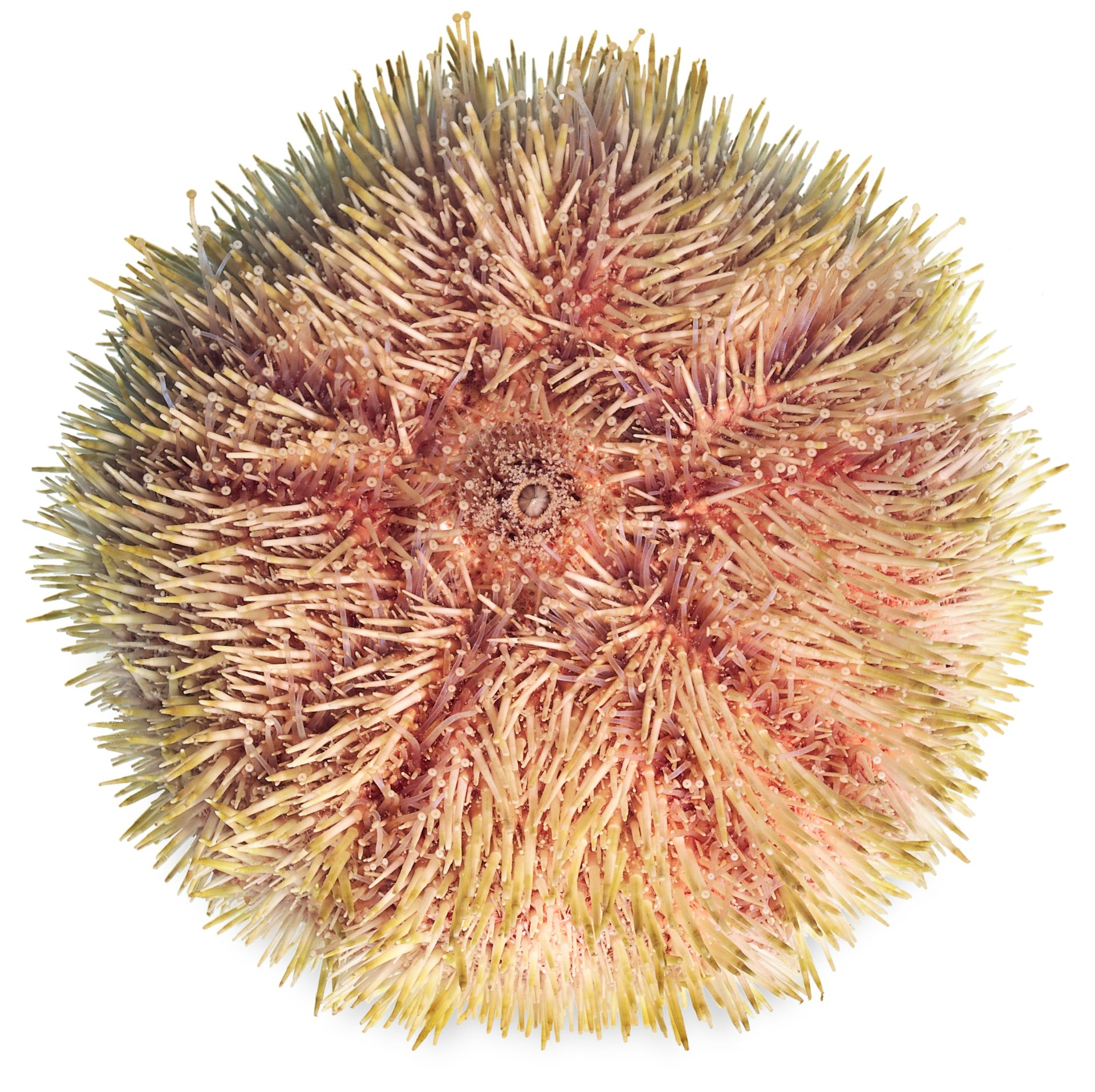 sea urchin facts what are sea urchins dk find out
