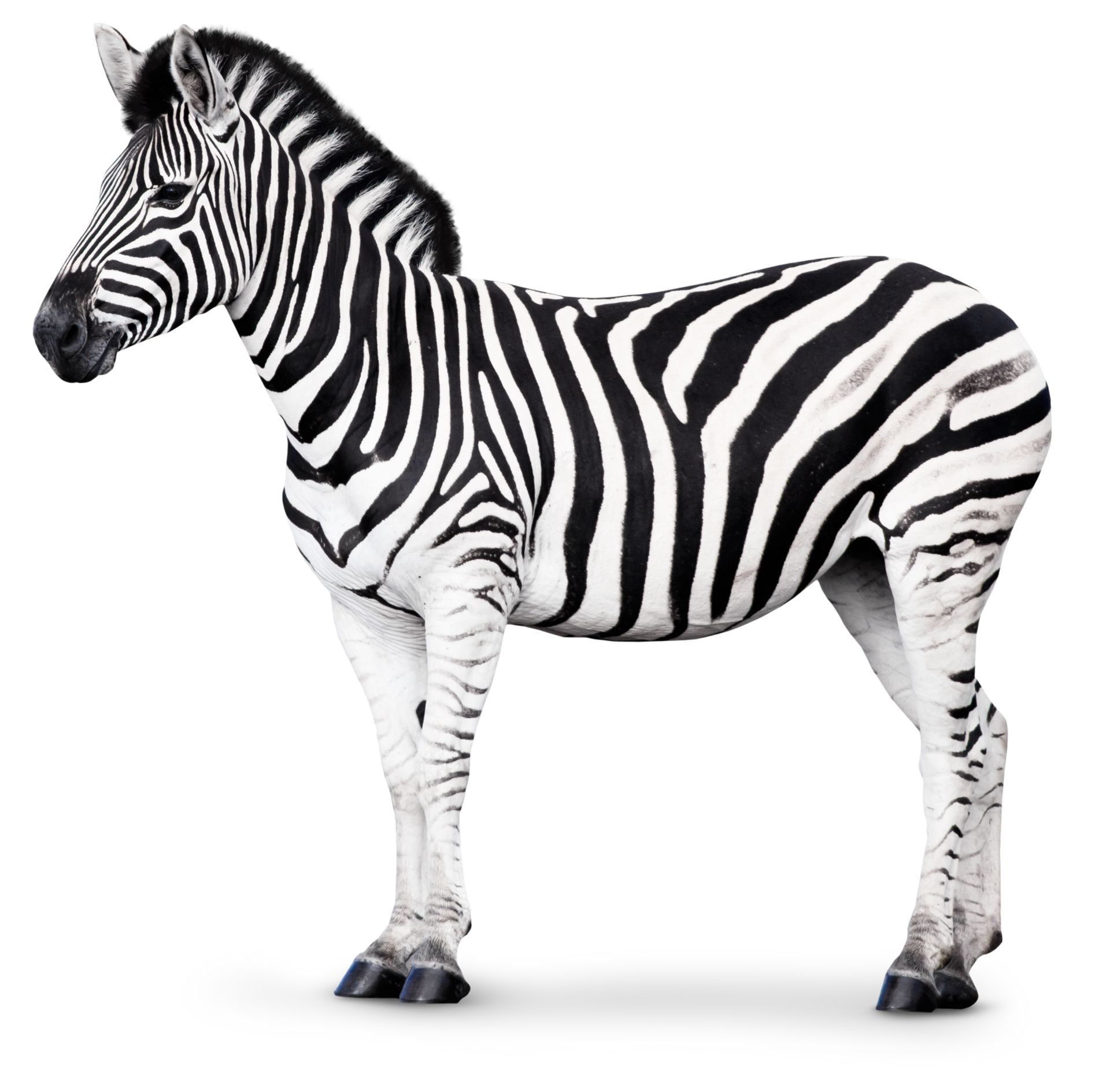 Zebra Facts For Kids | Why Are Zebras Striped? | DK Find Out