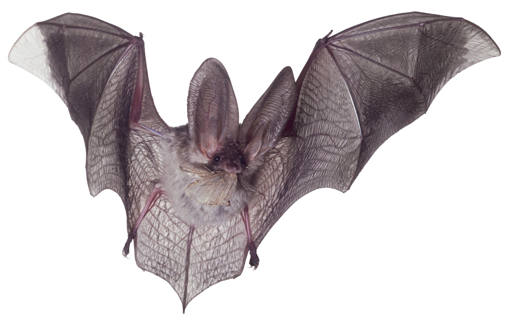 microbat facts what is a microbat dk find out