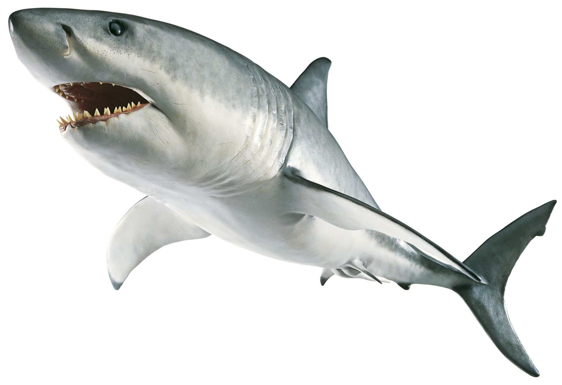 Great White Shark Facts For Kids | DK Find Out