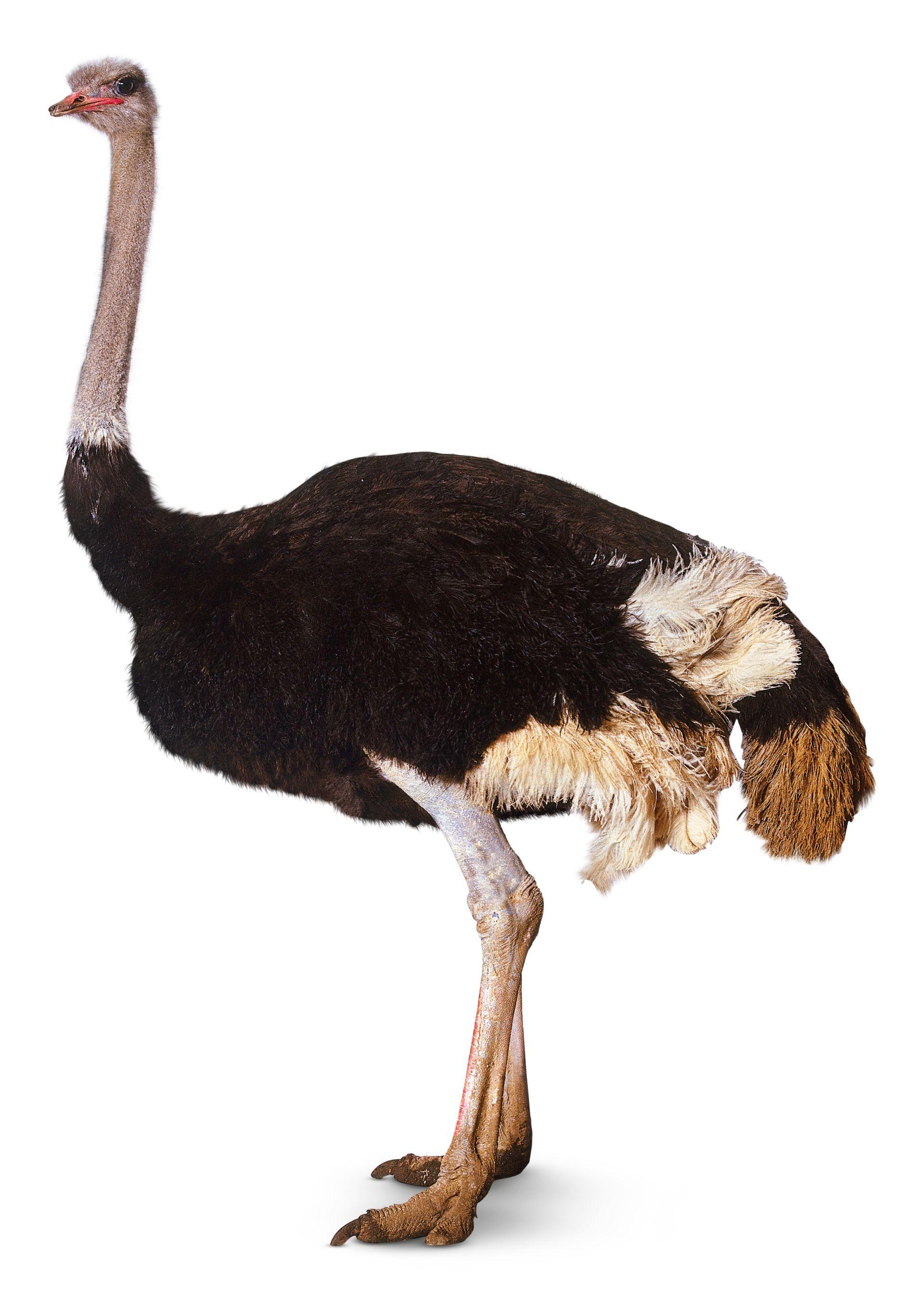 birds desert ostrich hd - photo #34