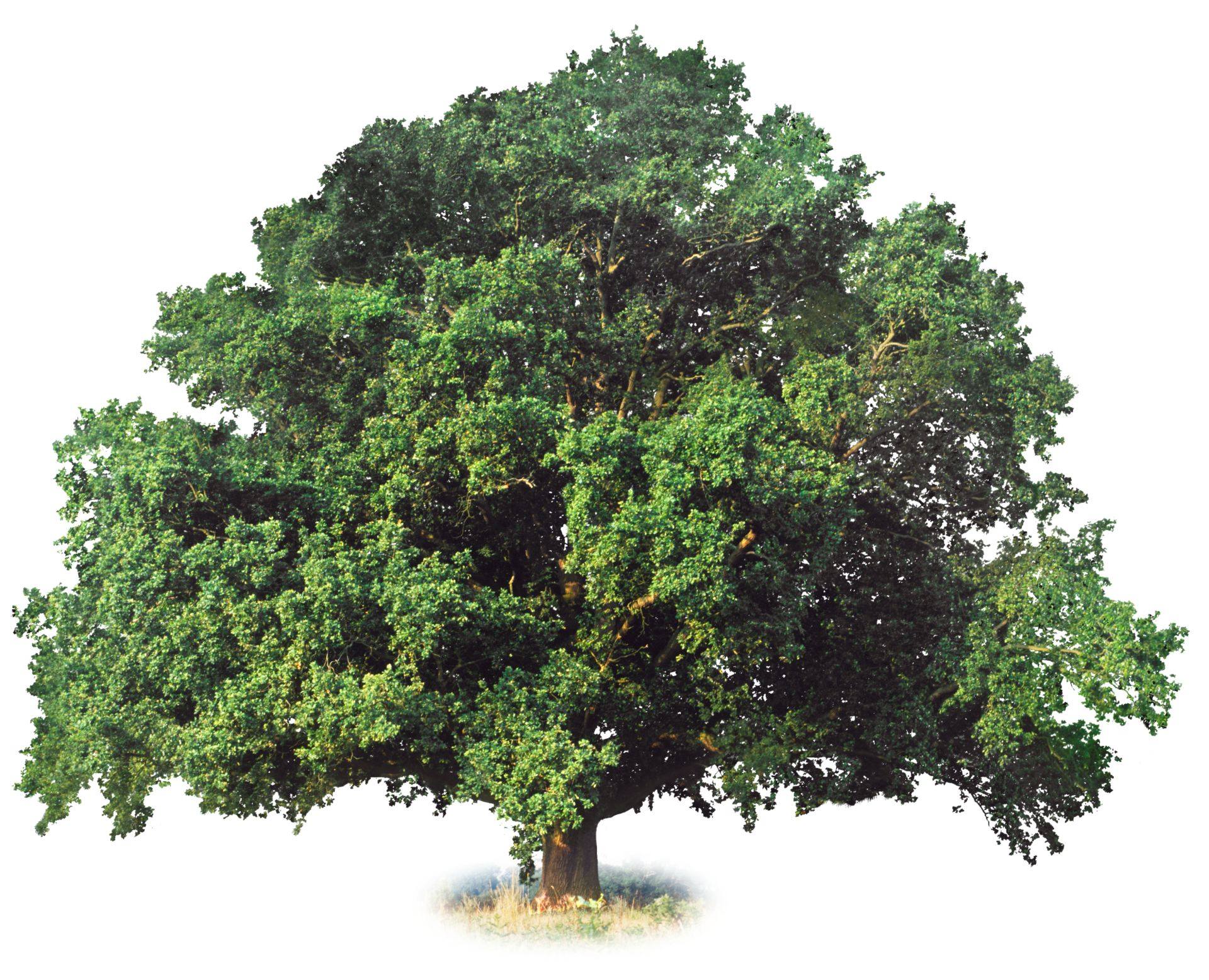 What is a deciduous tree deciduous trees dk find out for Garden trees types