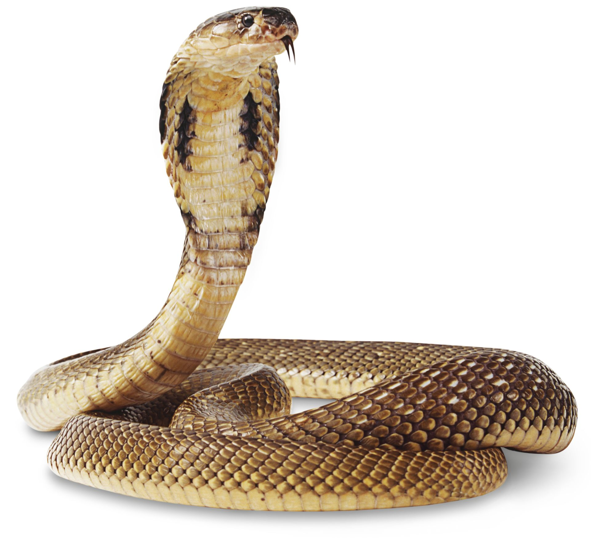 Cobra Snake Facts | Cobra Snake Information | DK Find Out