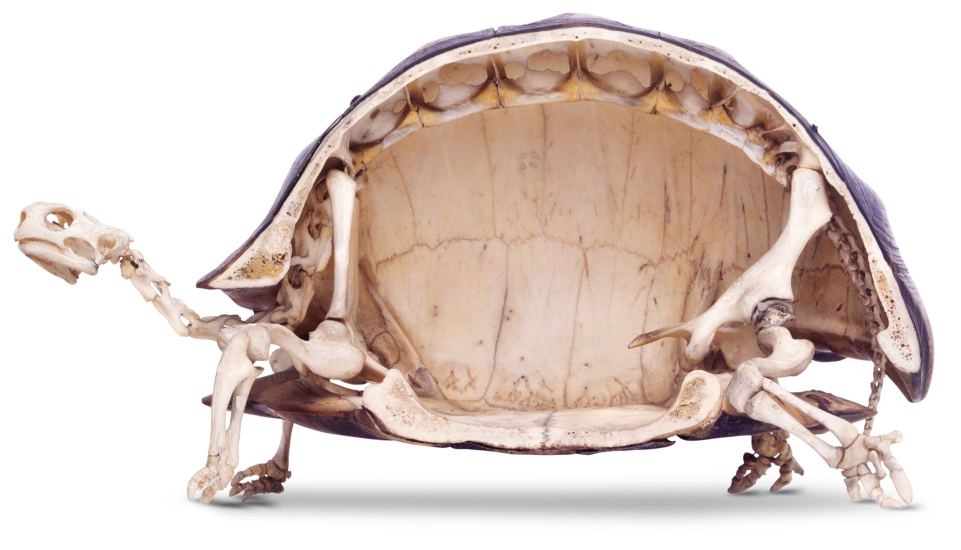 Tortoise Skeleton Anatomy Dk Find Out Snake Diagram The Skull At Very Dctm Penguin Uk Al674019 Xat5zk