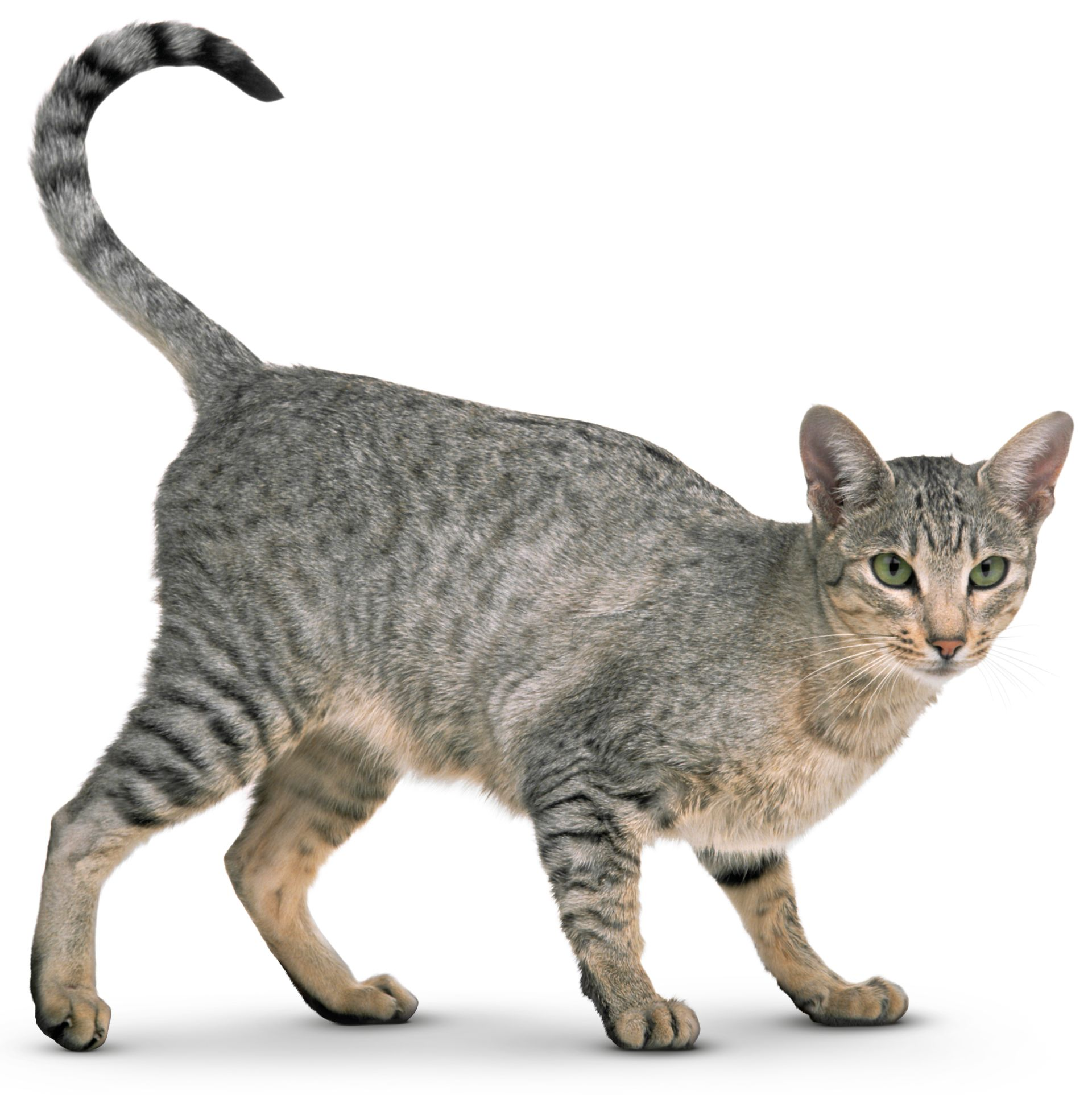 Cat Facts for Kids What is a Cat