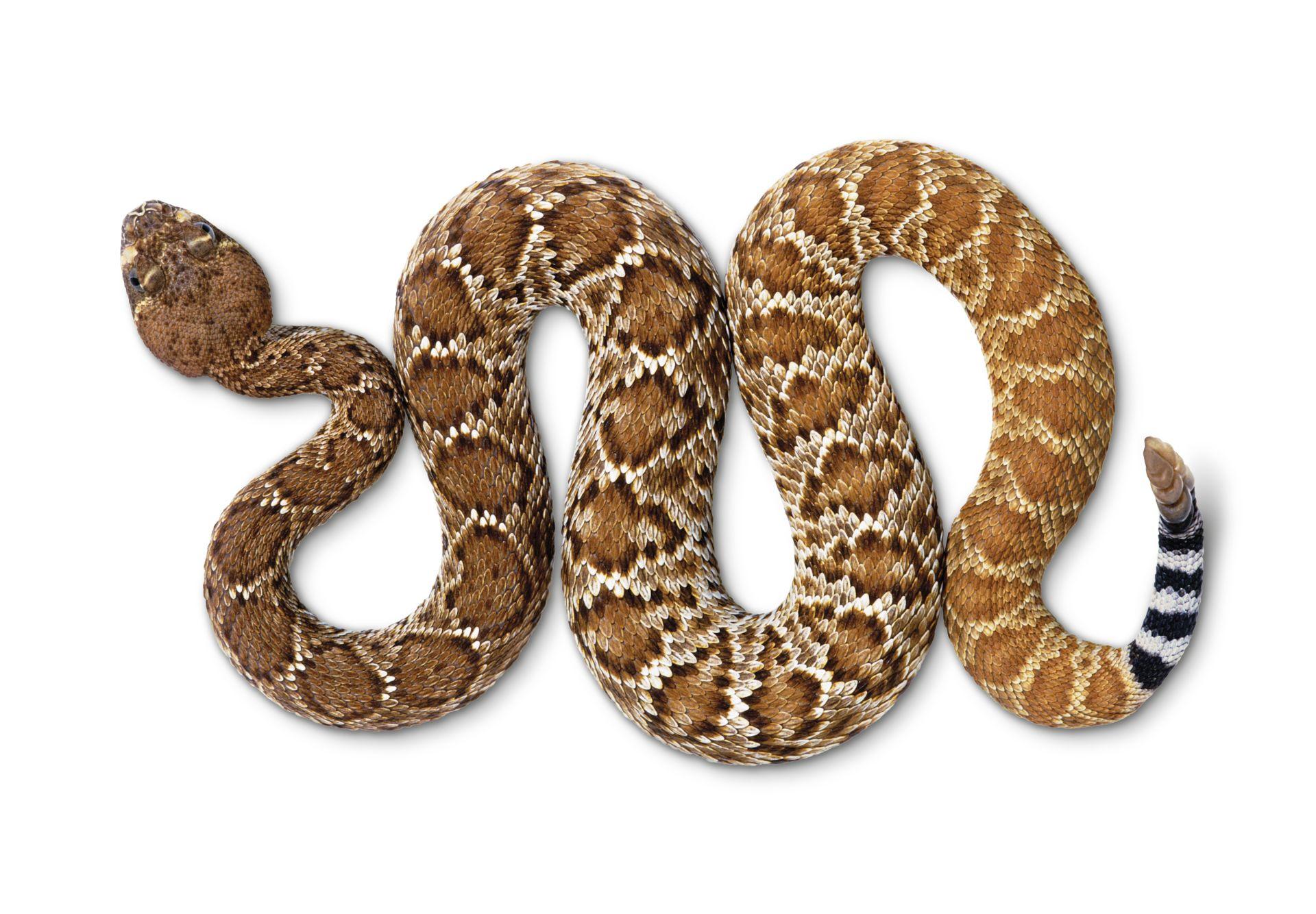 Rattlesnake Facts | Rattlesnake Information | DK Find Out