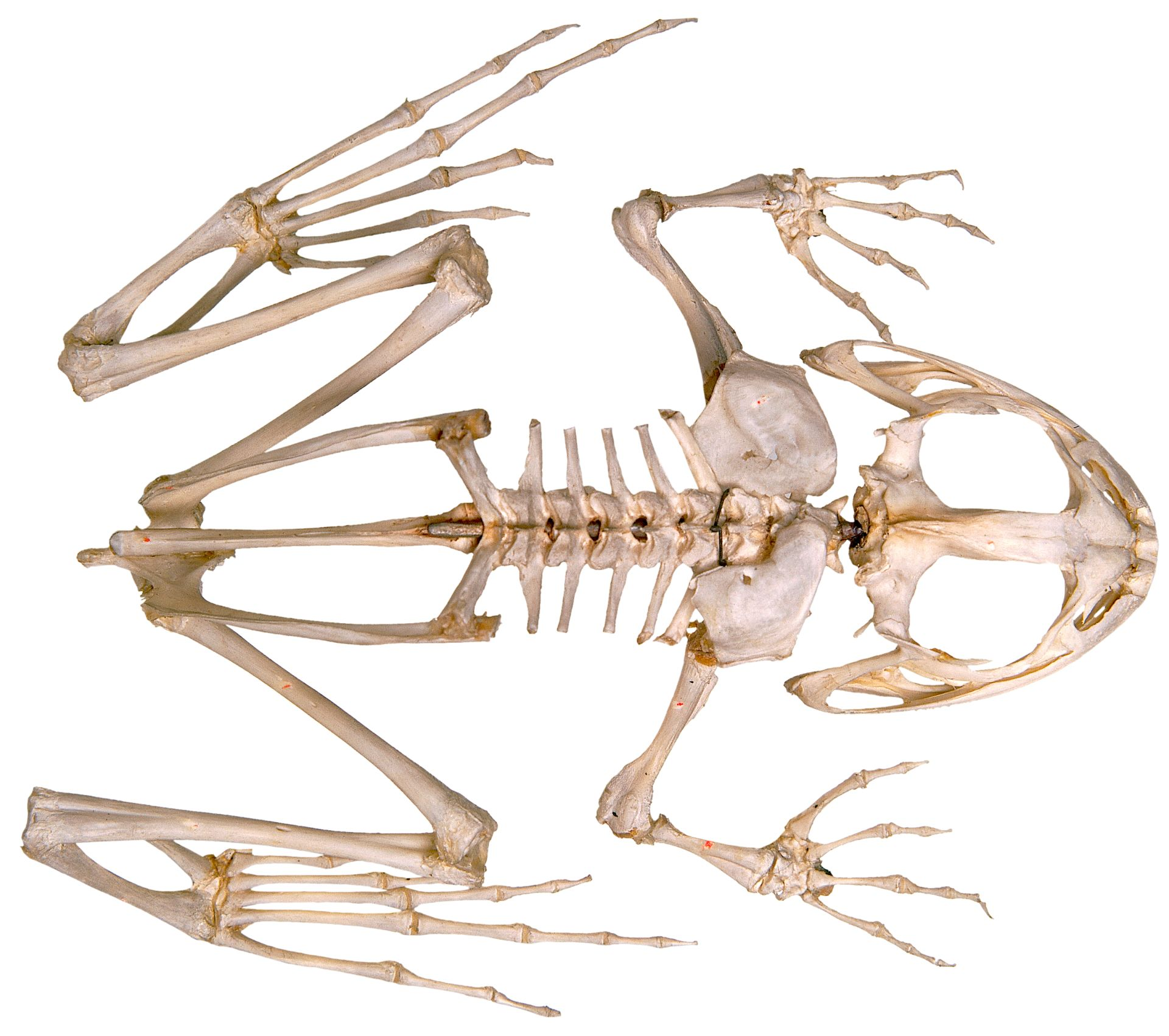 Frog Skeleton | Inside of a Frog | DK Find Out
