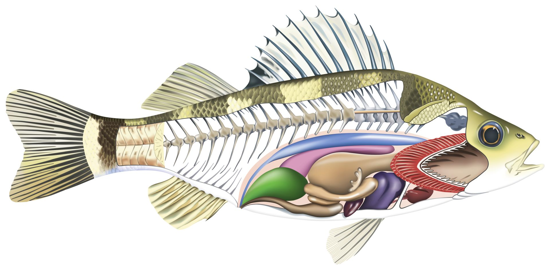 Anatomy of a Fish | Parts of a Fish | DK Find Out
