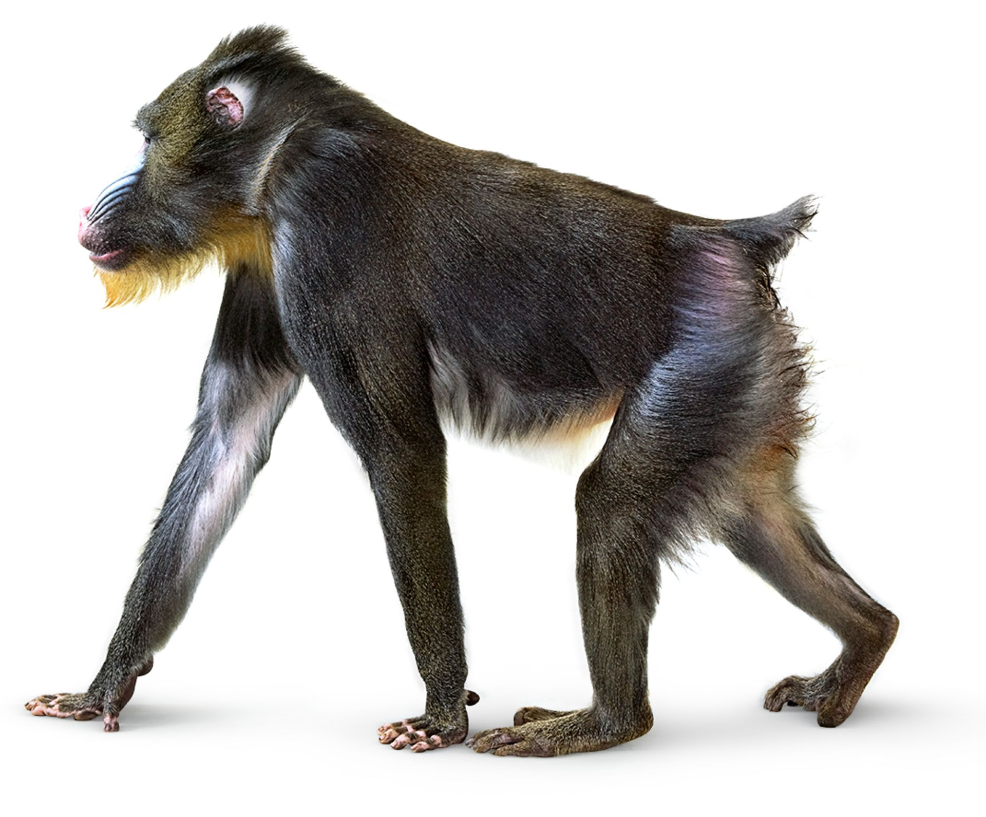 Mandrill Monkey Mandrill Dk Find Out
