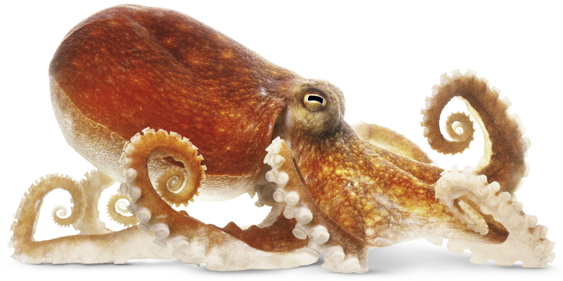 common octopus facts about octopuses dk find out