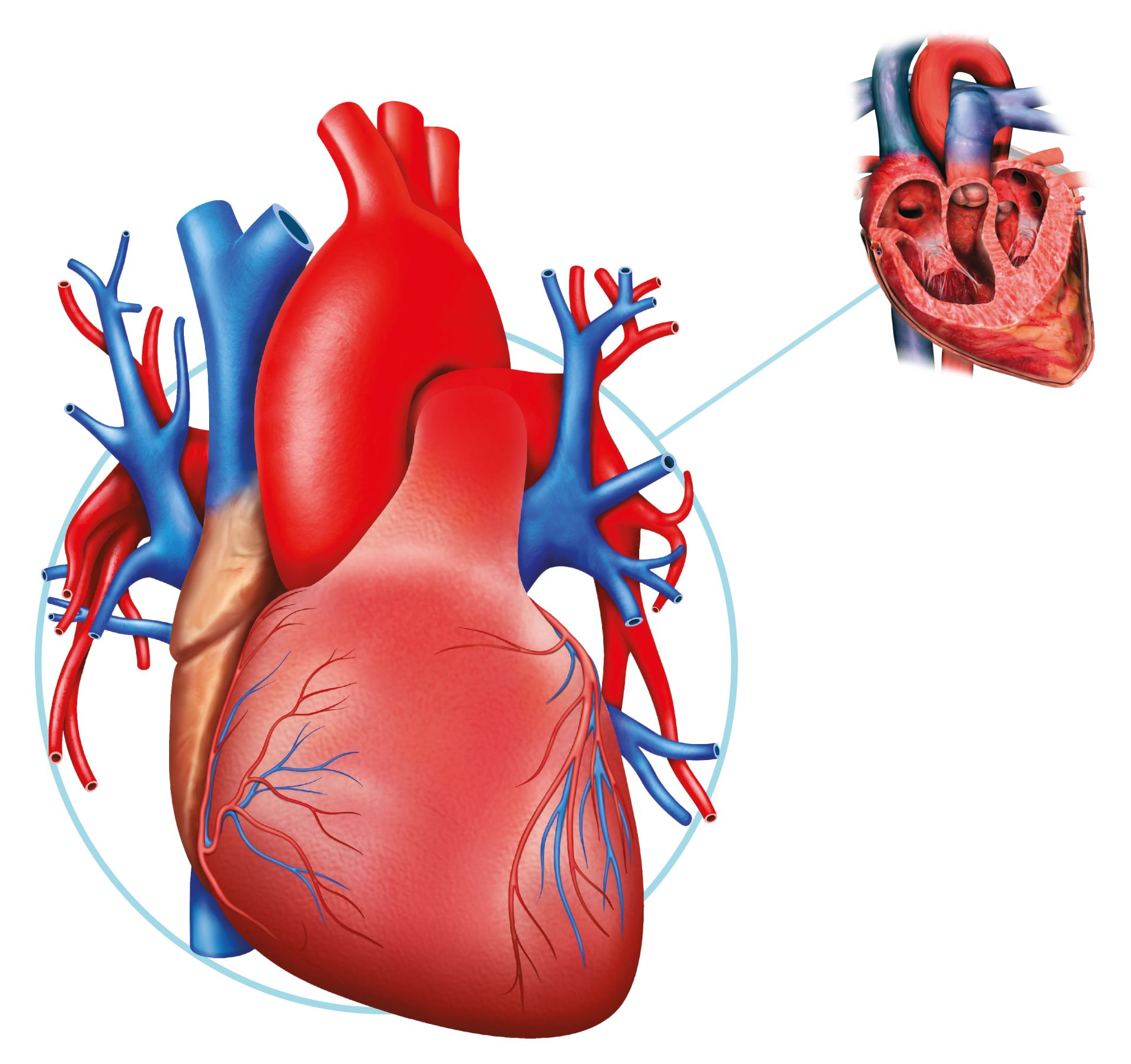 Human Heart Facts What Is The Heart Dk Find Out
