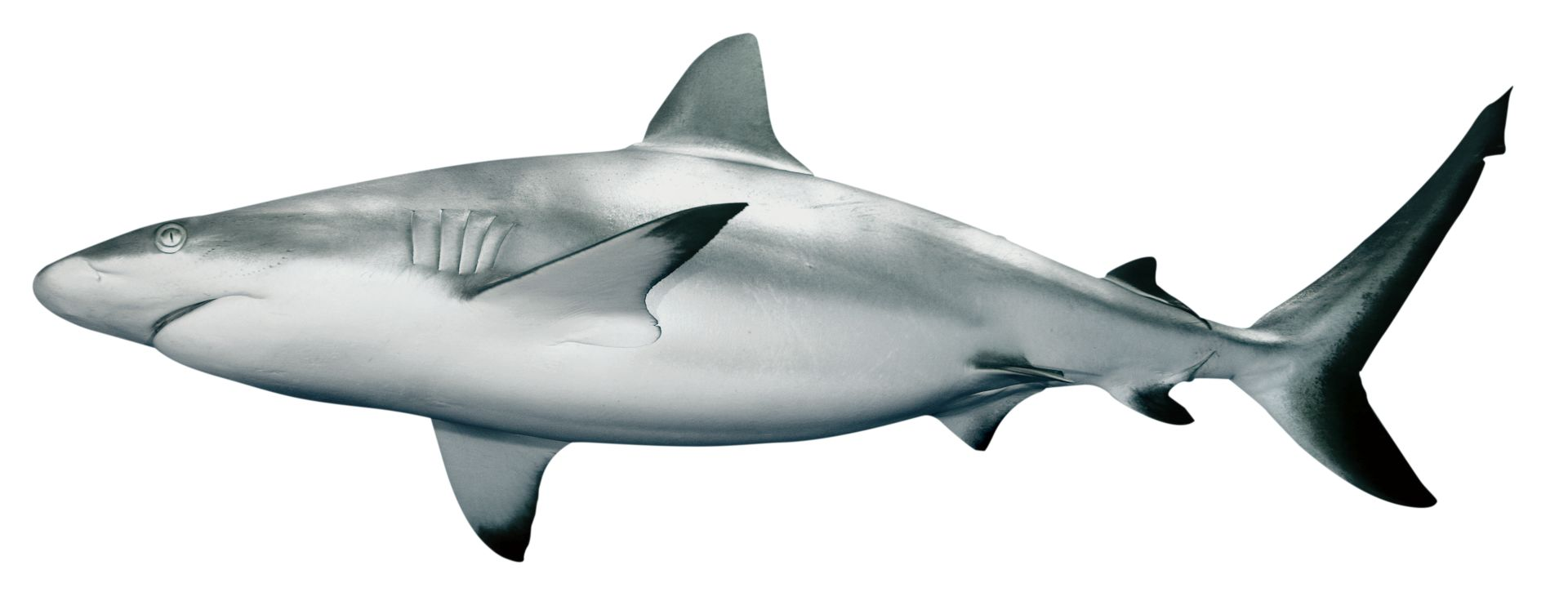 Shark facts for kids information on sharks dk find out grey reef shark dreamstime xl 5569552 qmsbfl thecheapjerseys Gallery
