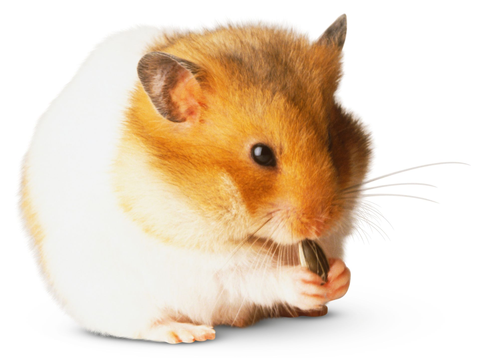 Hamster Facts | Types Of Hamsters | DK Find Out