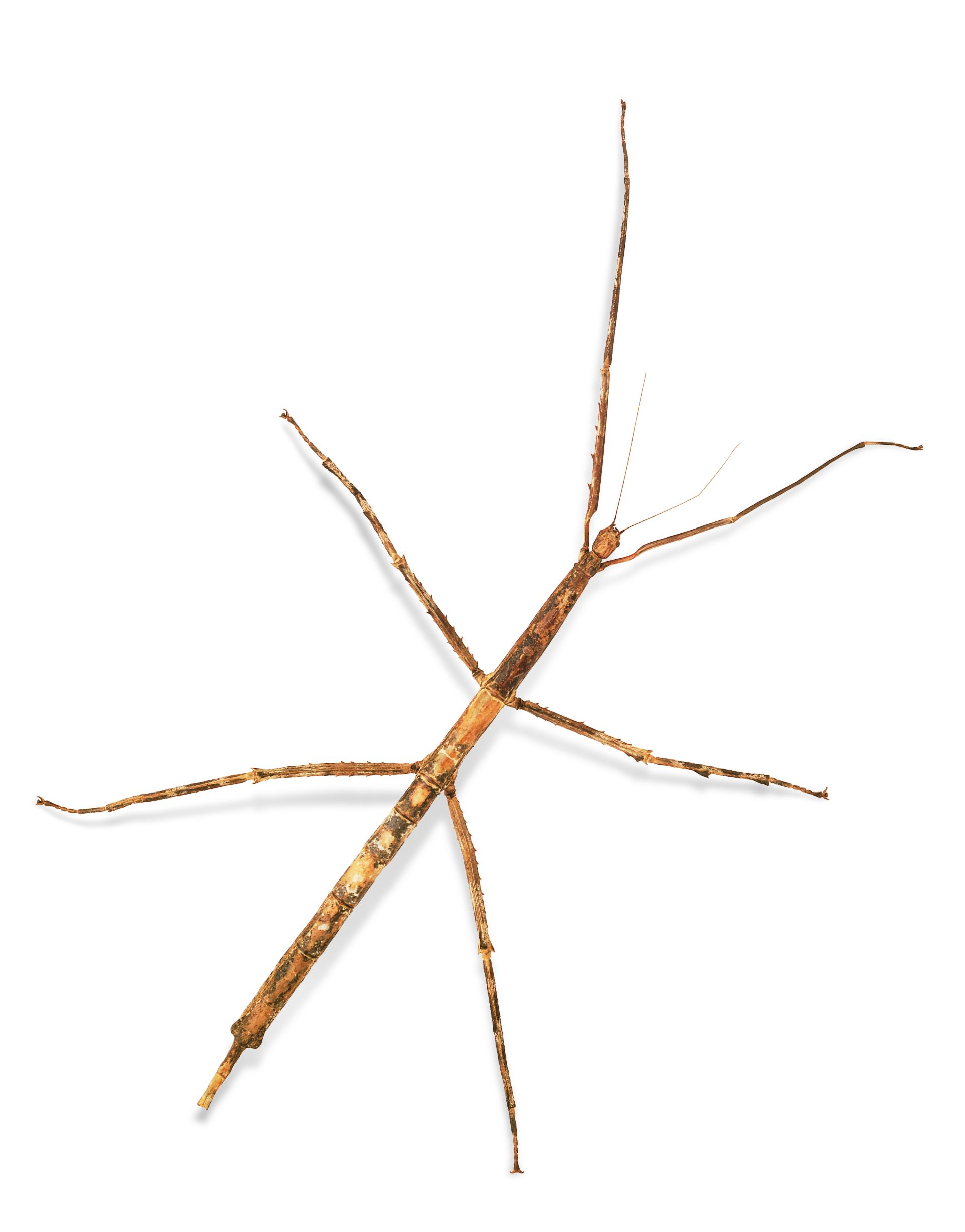 Stick Insect Facts | Stick Insects For Kids | DK Find Out