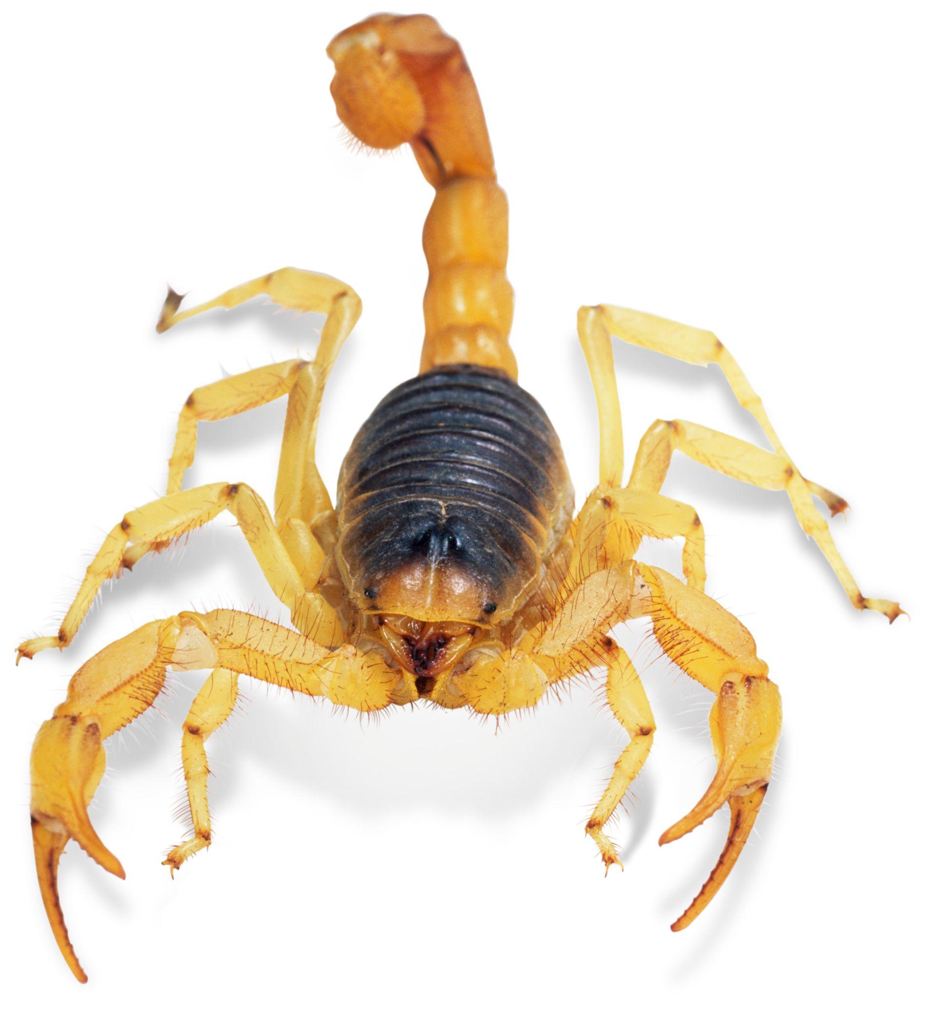 scorpions hairy giant desert