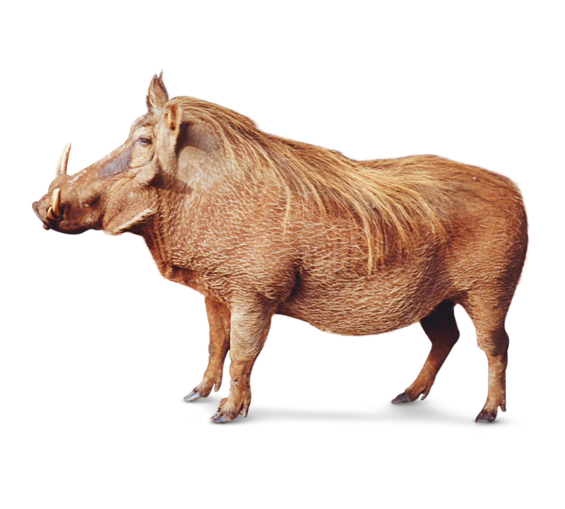 warthog facts for kids what is a warthog dk find out