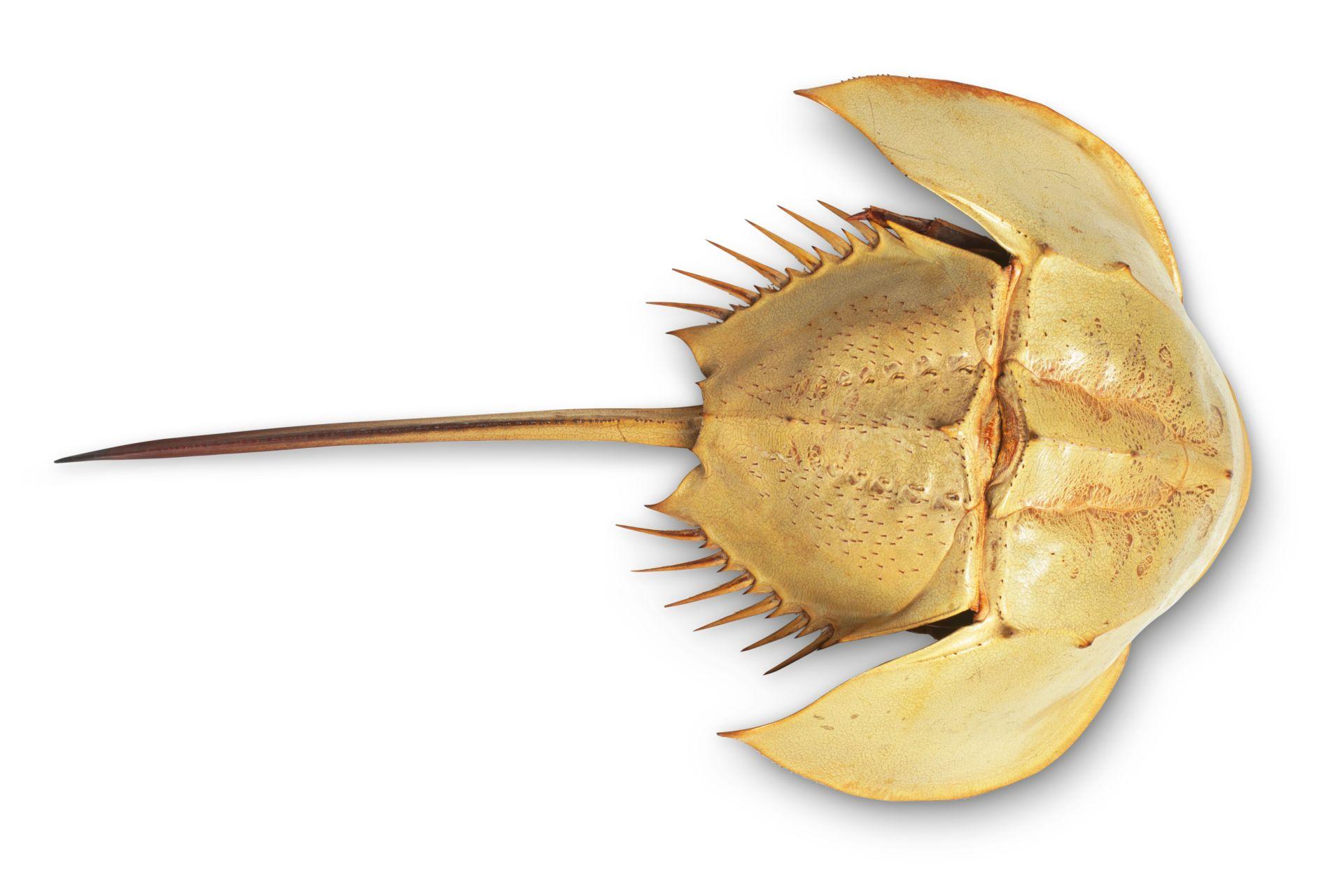 how to cook horseshoe crab
