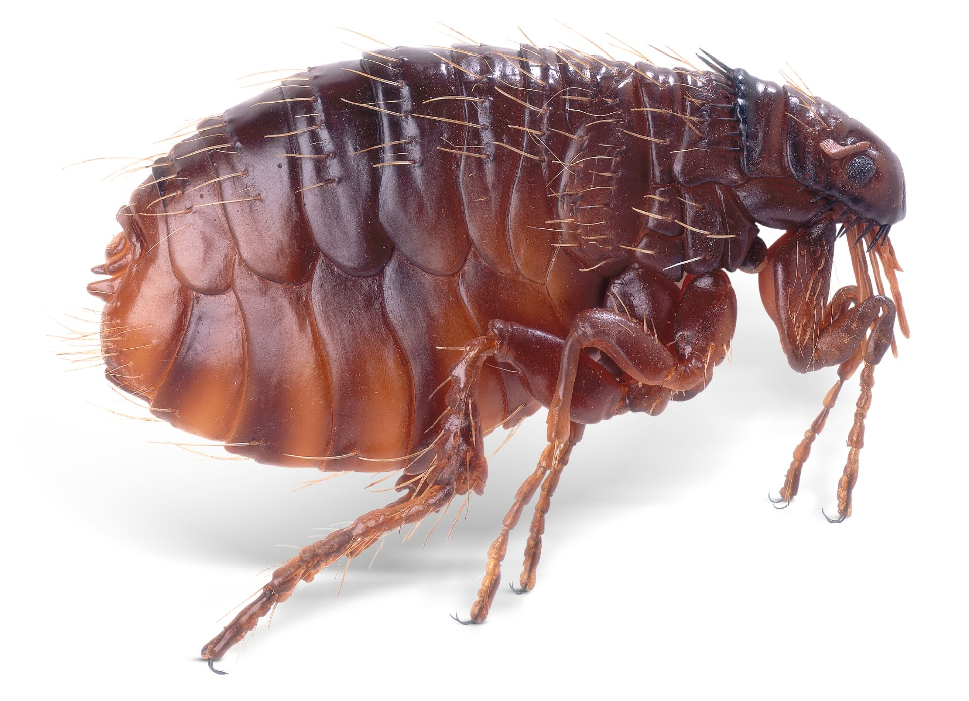 Domestic Cat Flea
