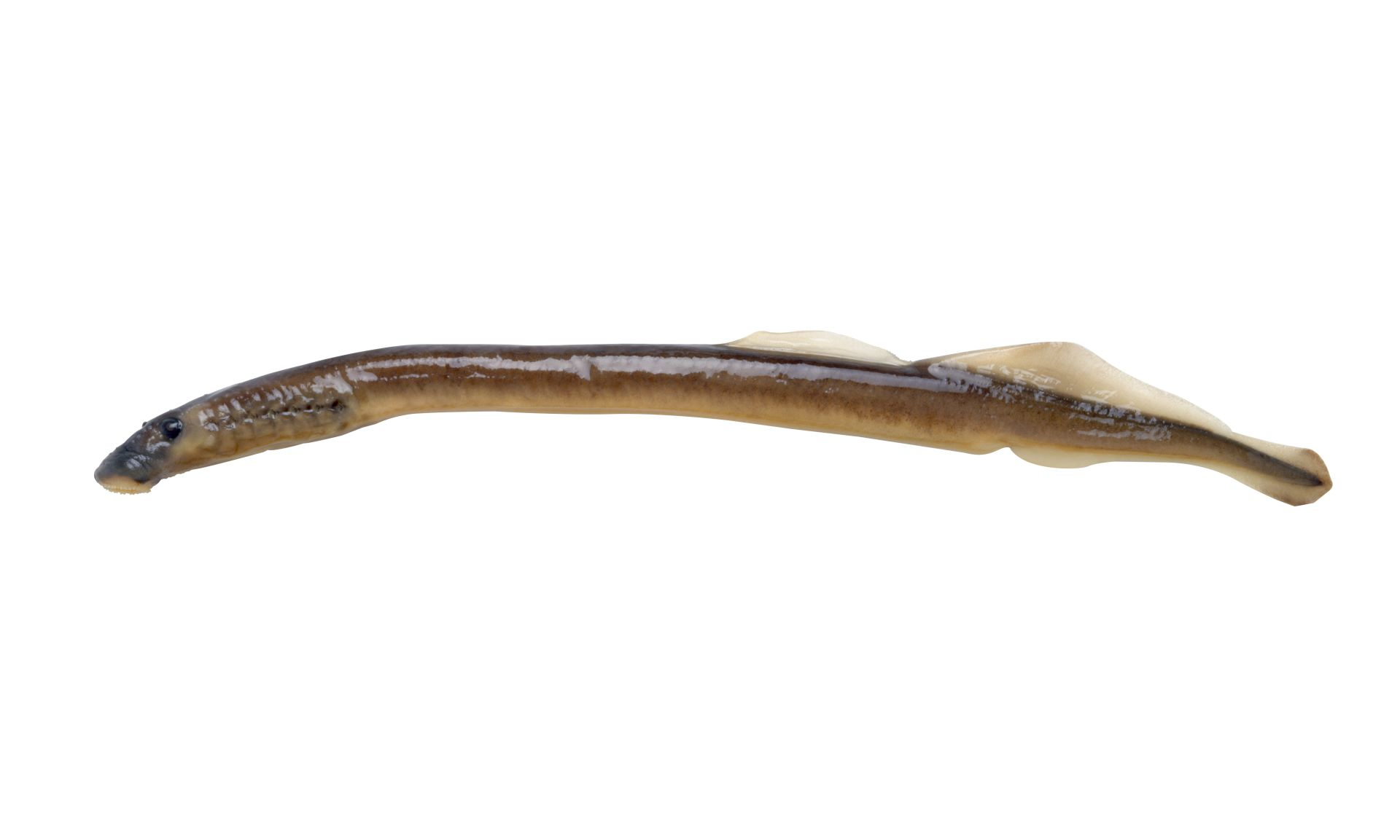 Jawless Fish Lamprey Fish Dk Find Out